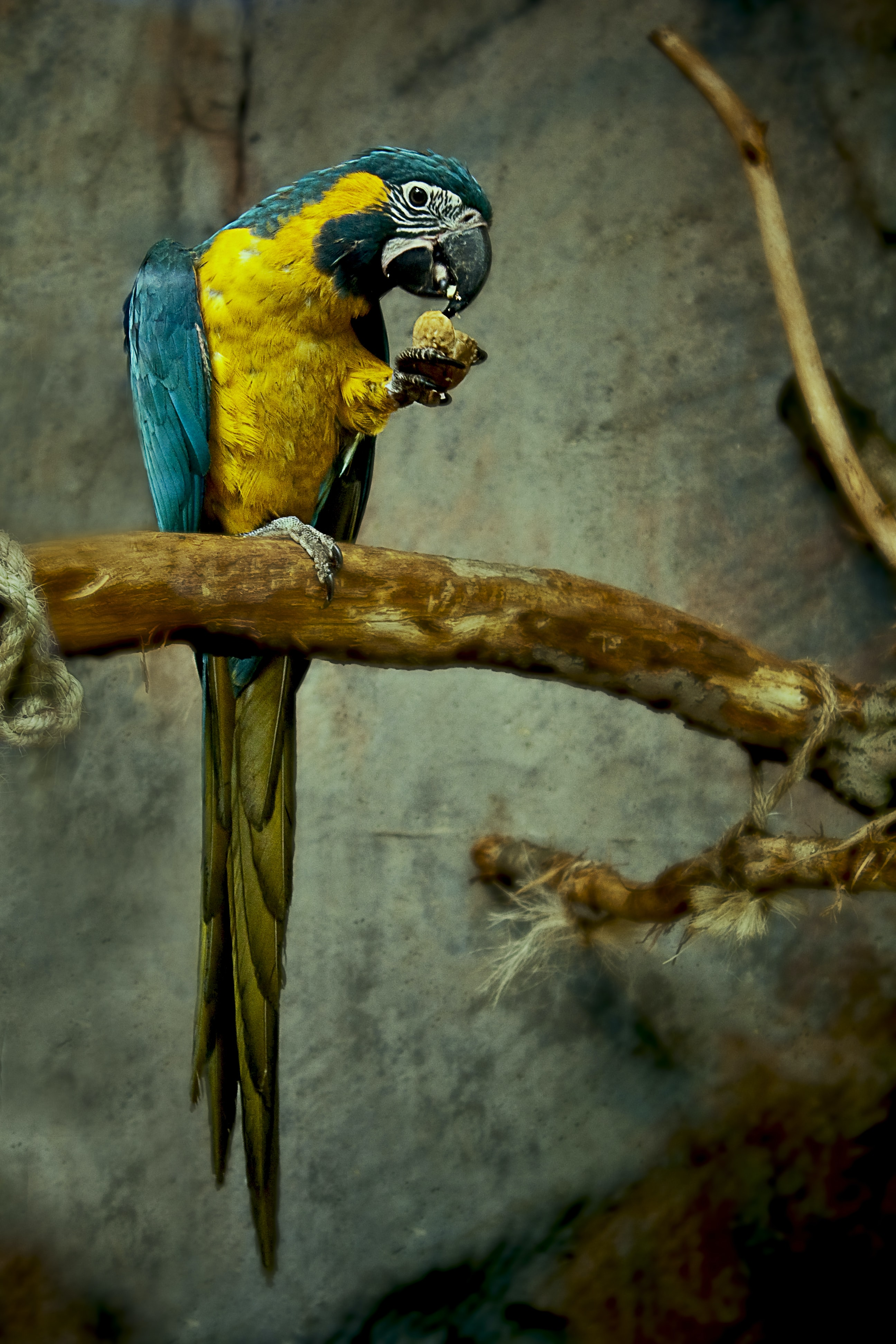 Blue and yellow parrot eating from its hand while perched on a branch tied by rope