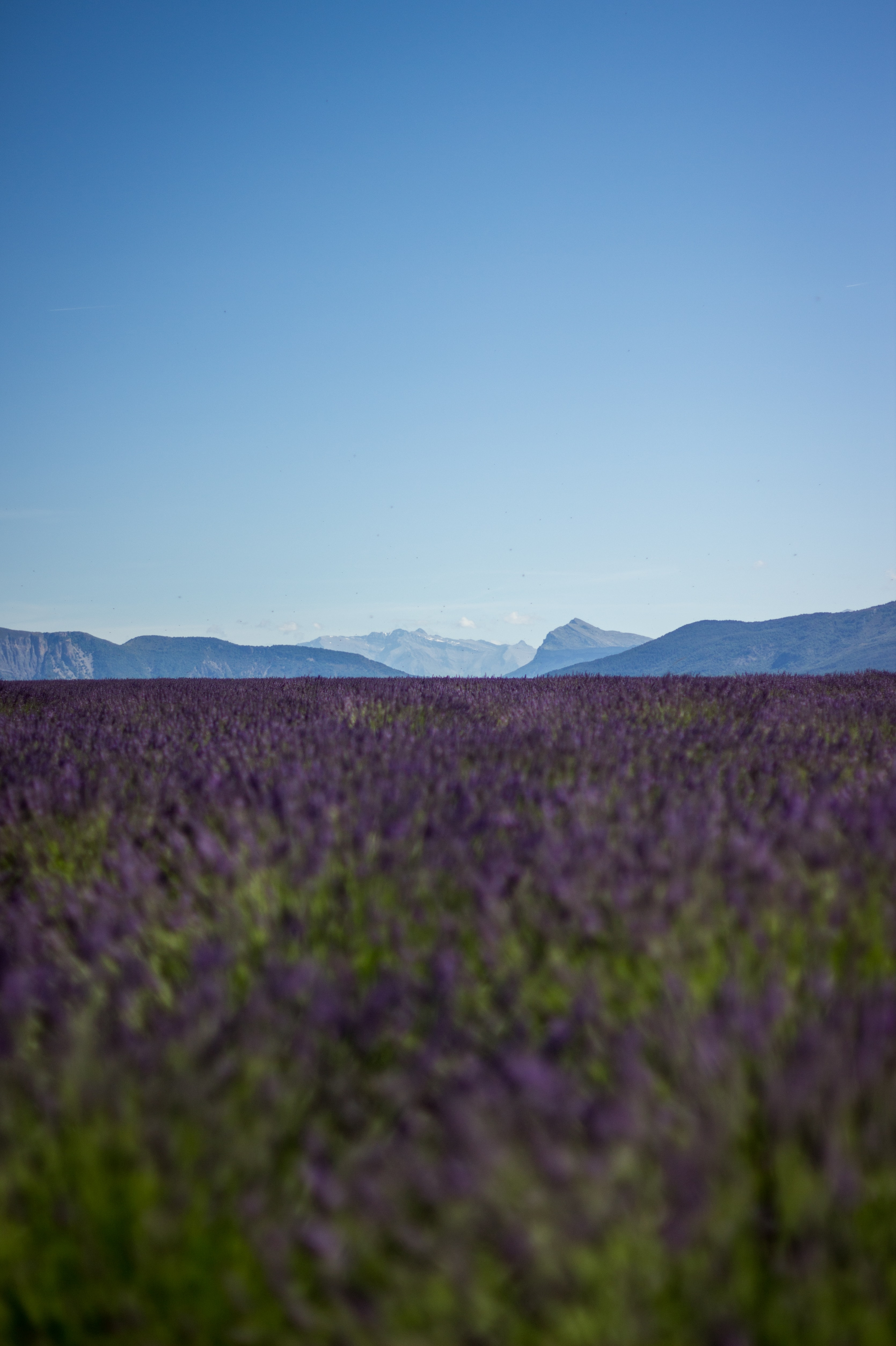 purple lavender field overlooking mountains during daytime