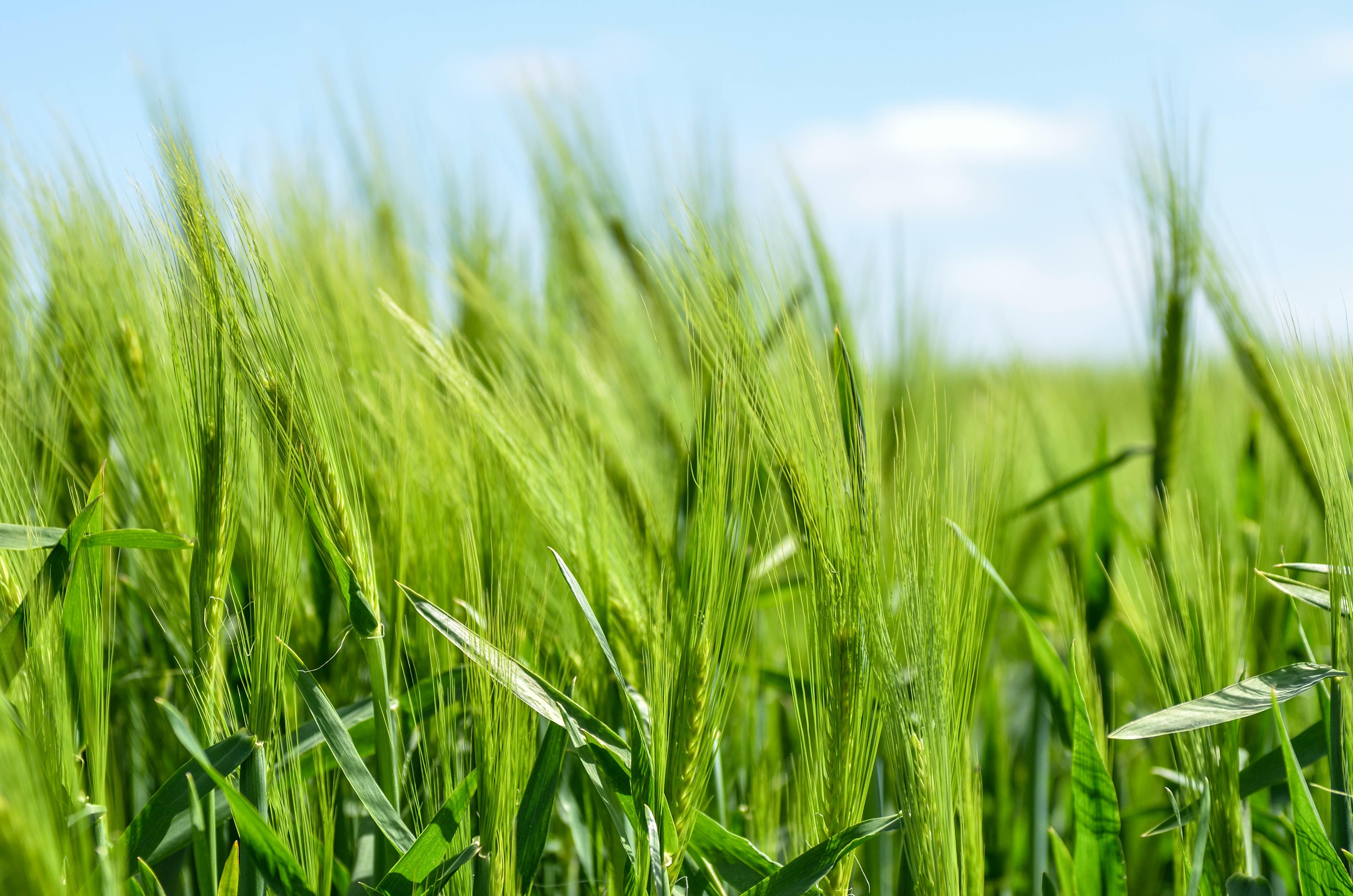 green grass field