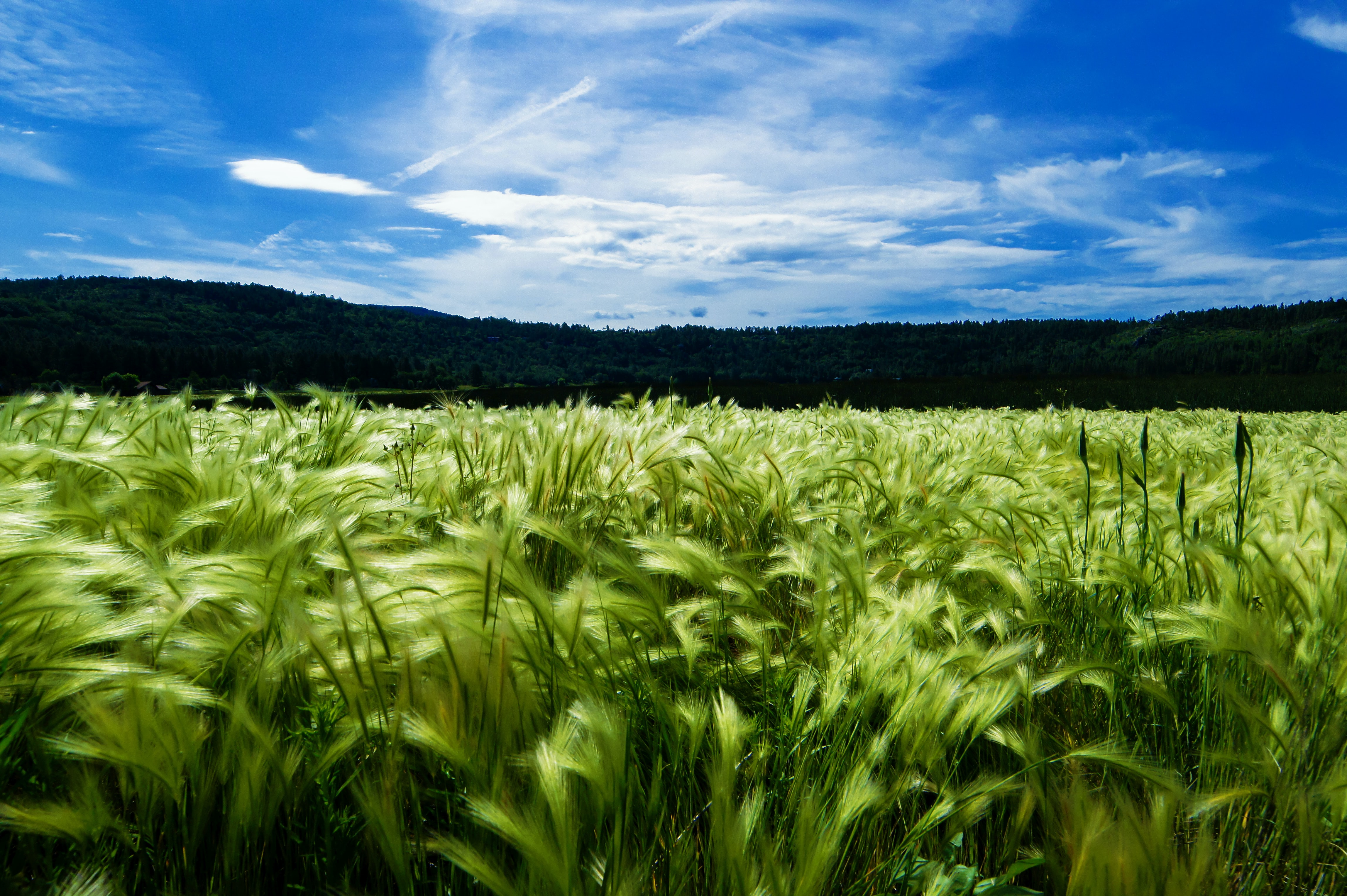 Rural agriculture features farmland of healthy growing wheat at Stoneman Lake
