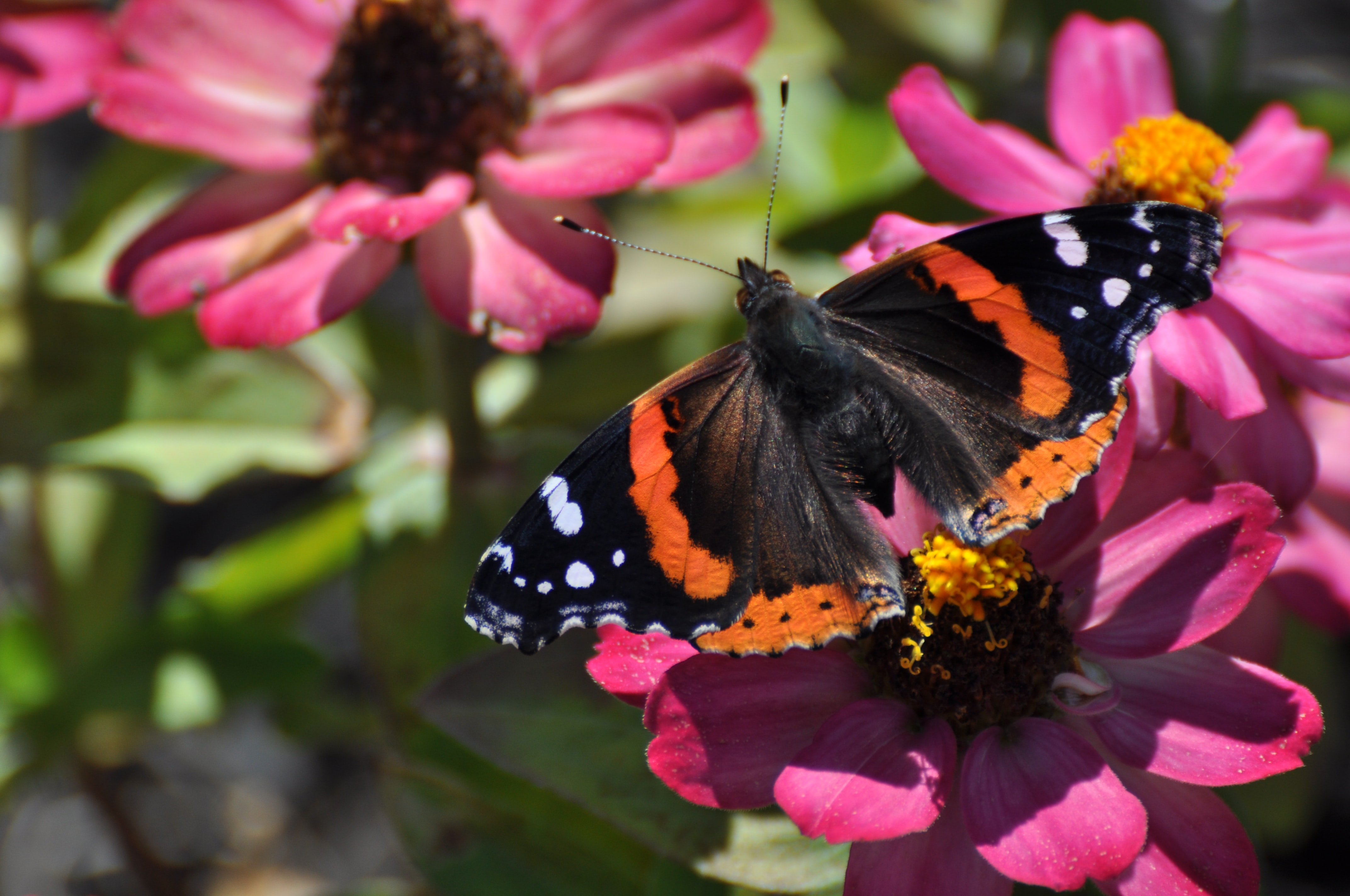 An orange and black butterfly on pink flowers.