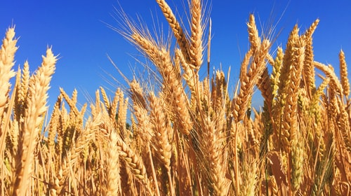 The Wicked Wheat