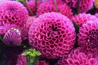 Exploring the flower market at the Pikes Place  Public Street Market in Seattle Washington I came across these breath taking dahlias. I shot this photo upclose and tight to showcase the beautiful patterns and textures of its petals. The color is so rich and vibrant that you can't help but to lose yourself in their beauty.