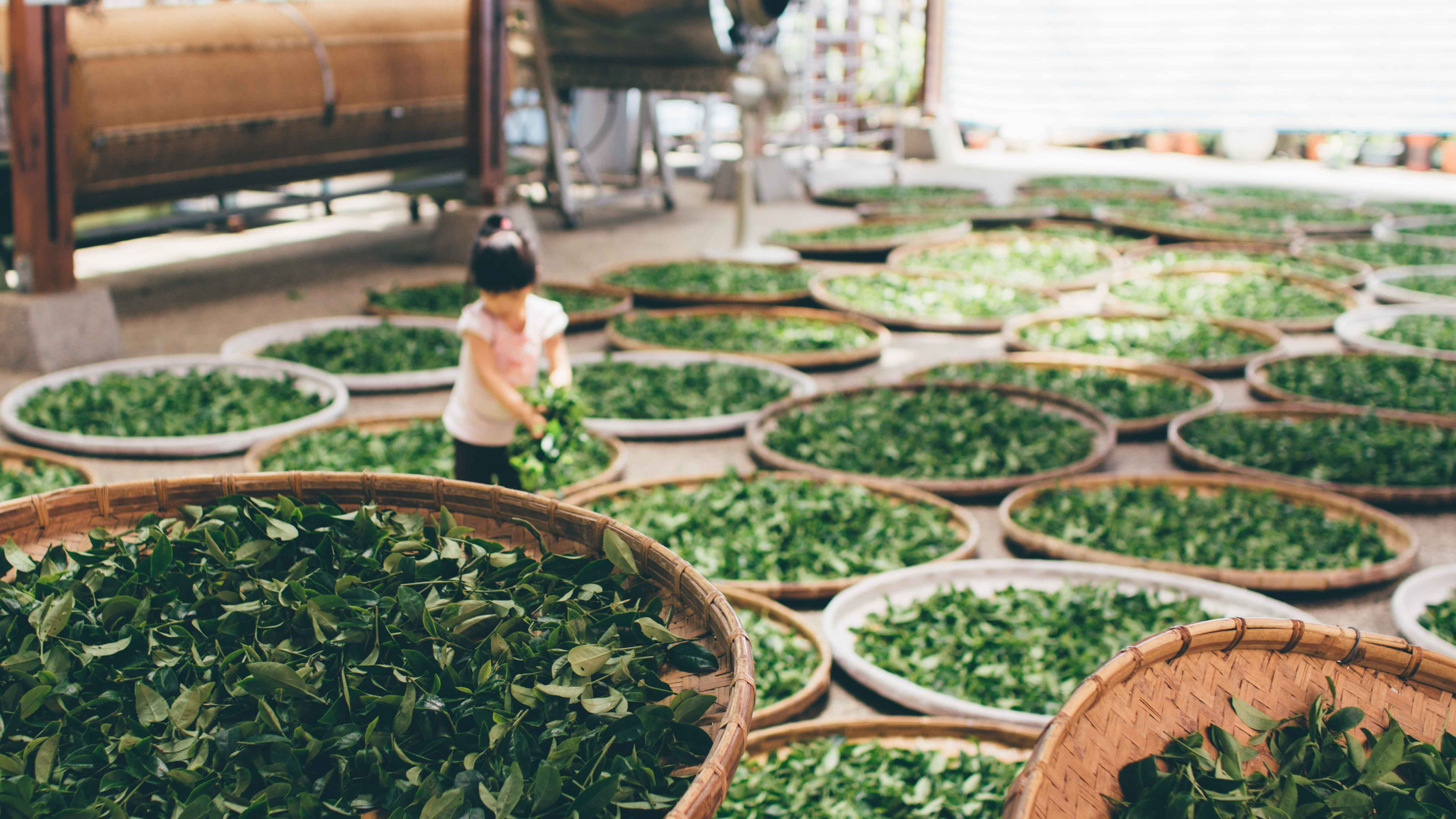 A girl gathers leaves from a basket in a room filled with baskets of leaves.