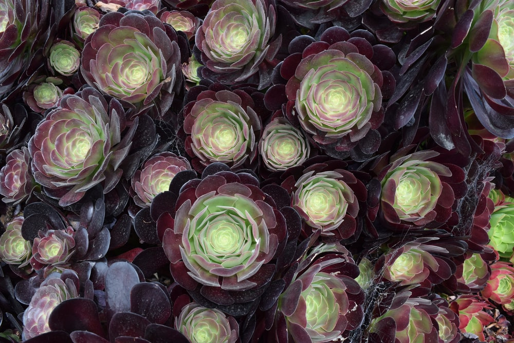 green and purple succulent plant