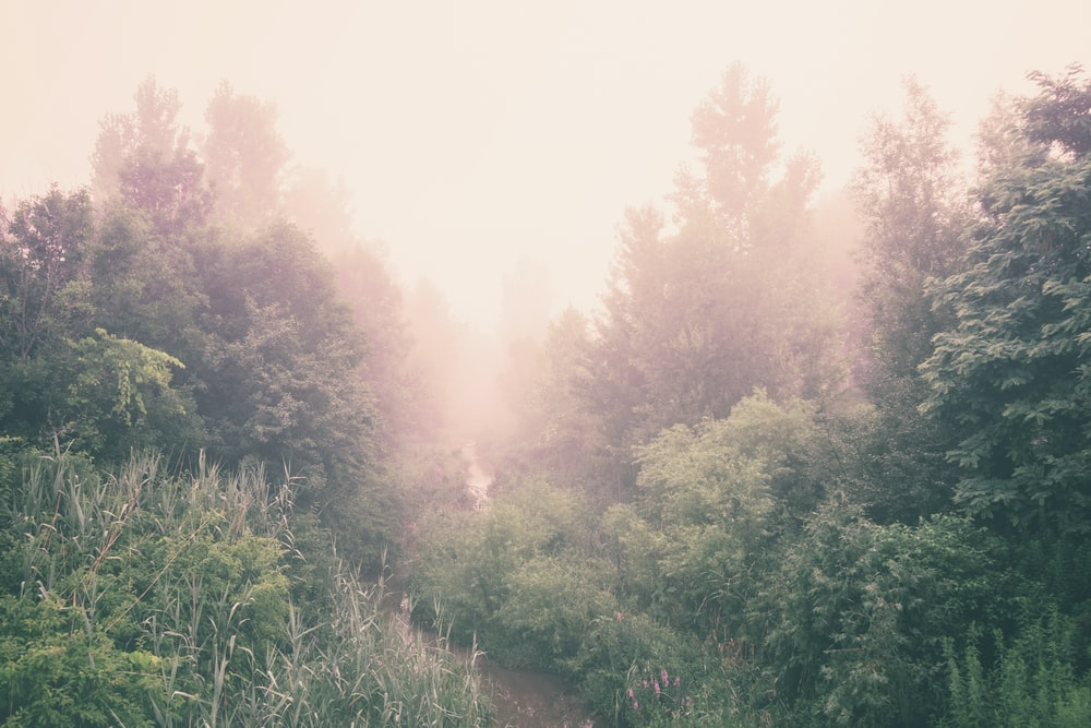 green tall trees surrounded with fogs