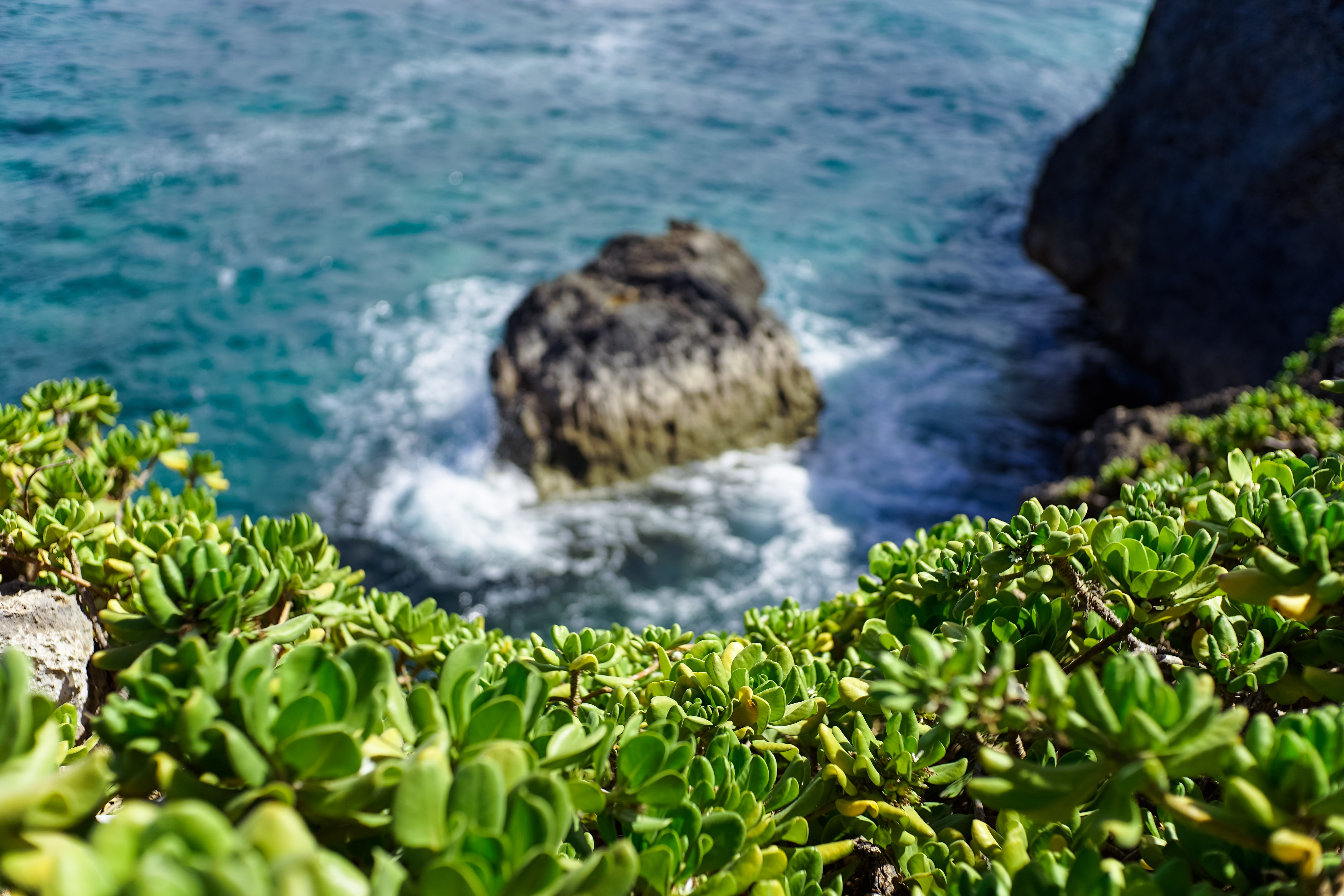 Succulents overlooking a cliff on the sea in Laie Point State Wayside