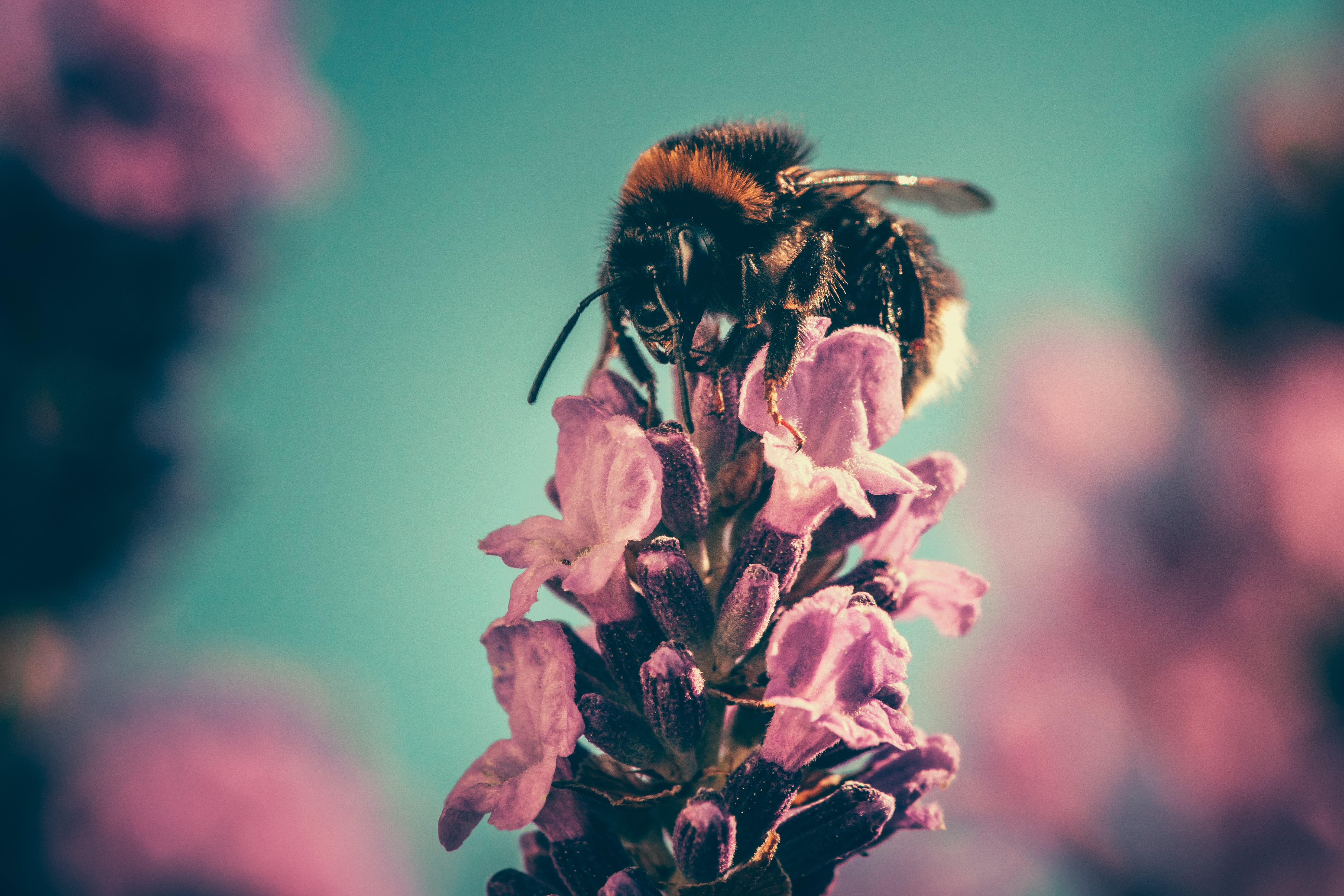 Bee collecting pollen from pink flower bud with blue sky background in Spring