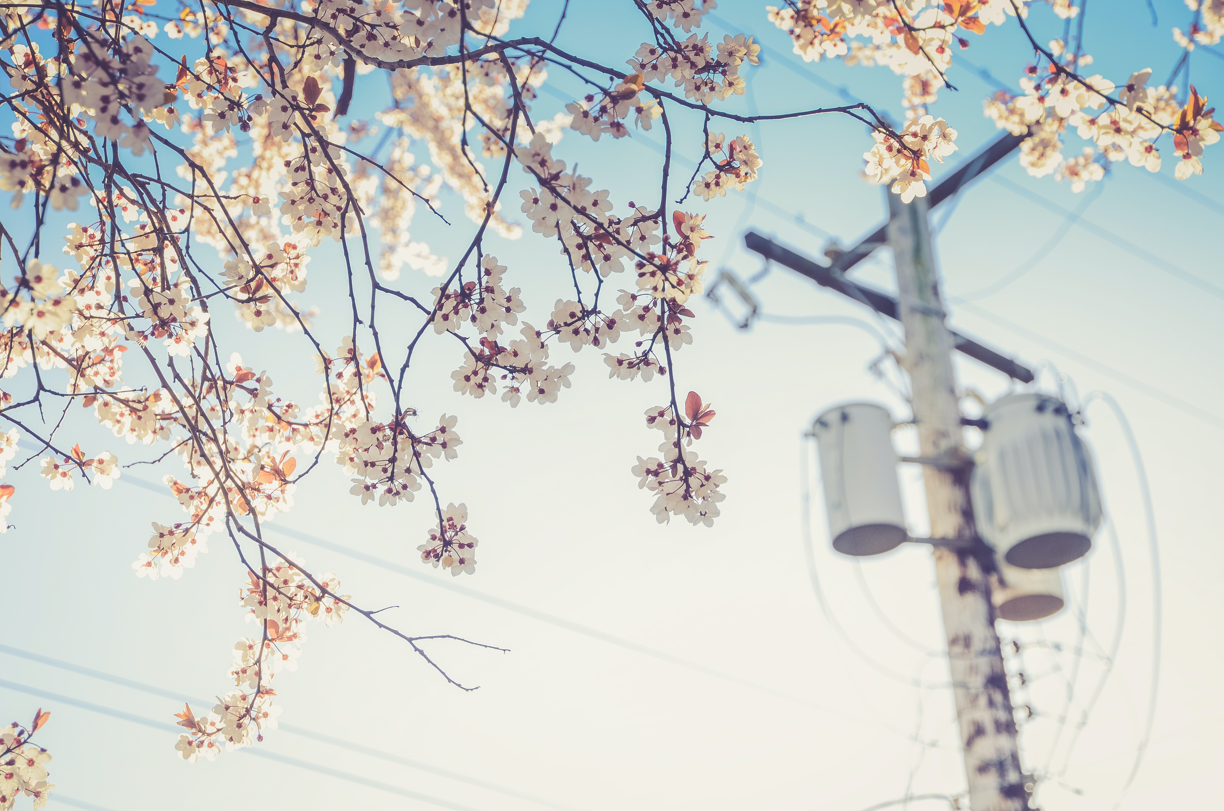 Urban cherry blossom tree with clear blue sky and telephone line, Vancouver