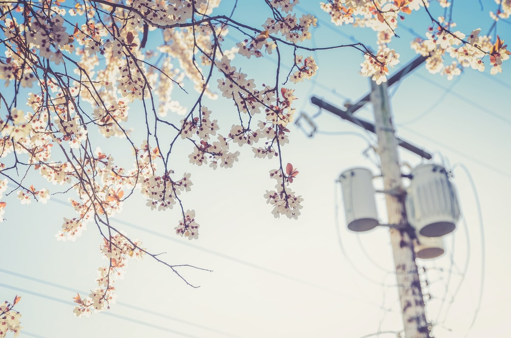 white cherry blossom beside electric post at daytime