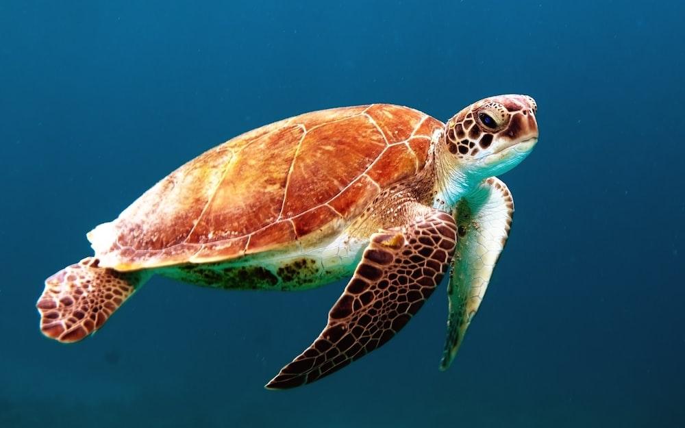 brown turtle swimming underwater