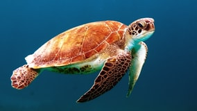 A close up of a turtle underwater