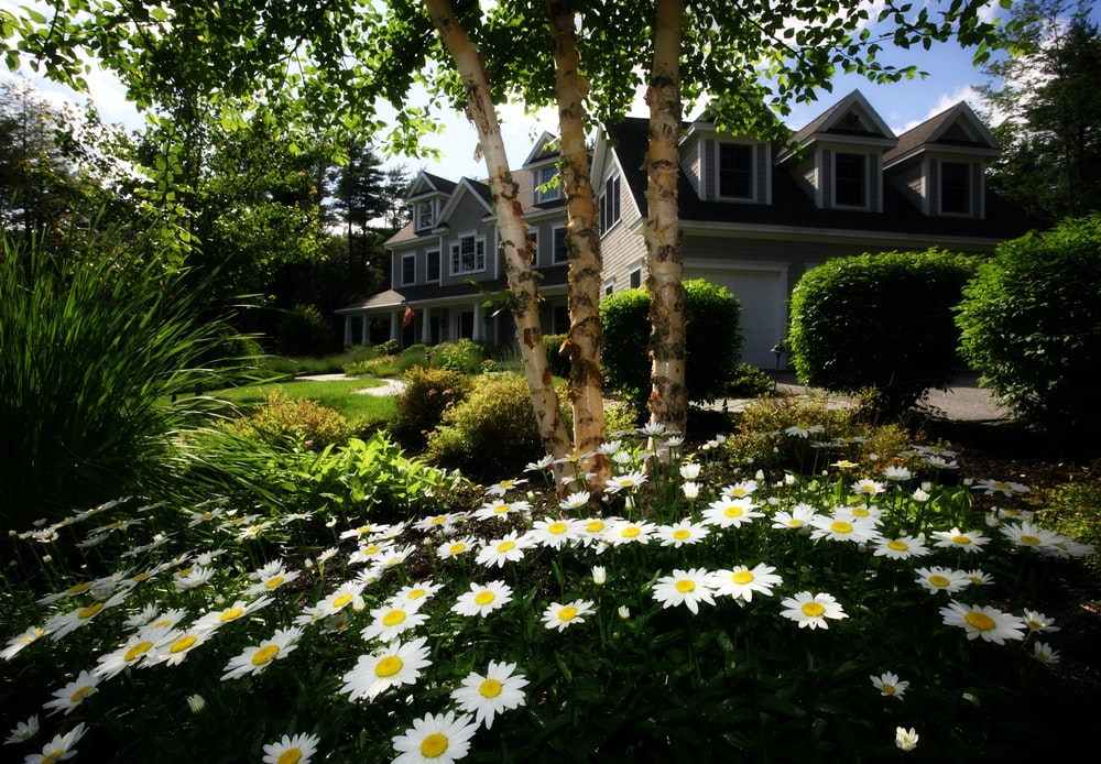 White daisies in the garden of a large suburban house