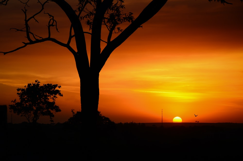 silhouette tree of golden hour