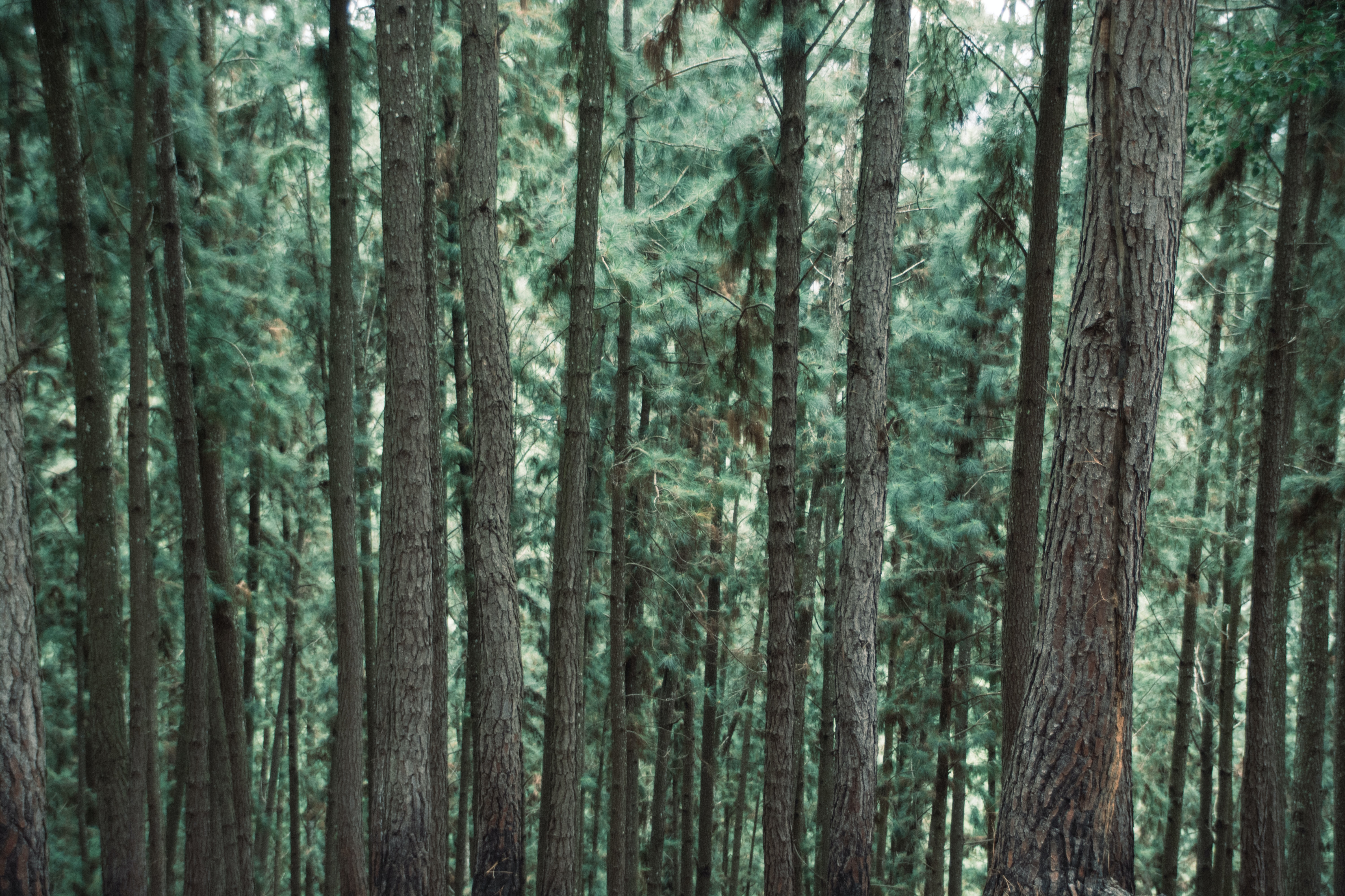 Tall pine tree trunks and green pine needles in a forest