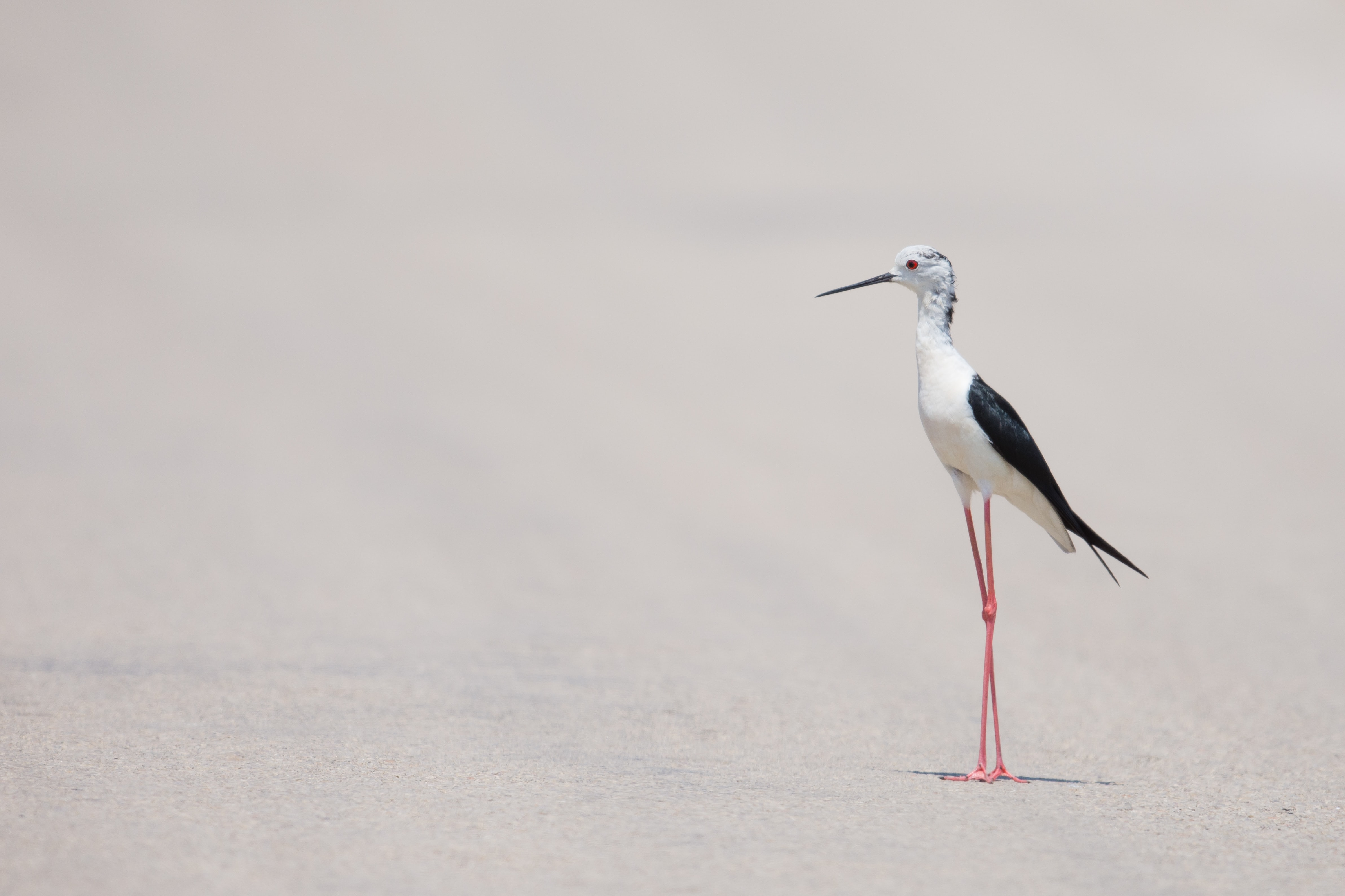 White seabird with long legs standing on the sand beach at Ebro