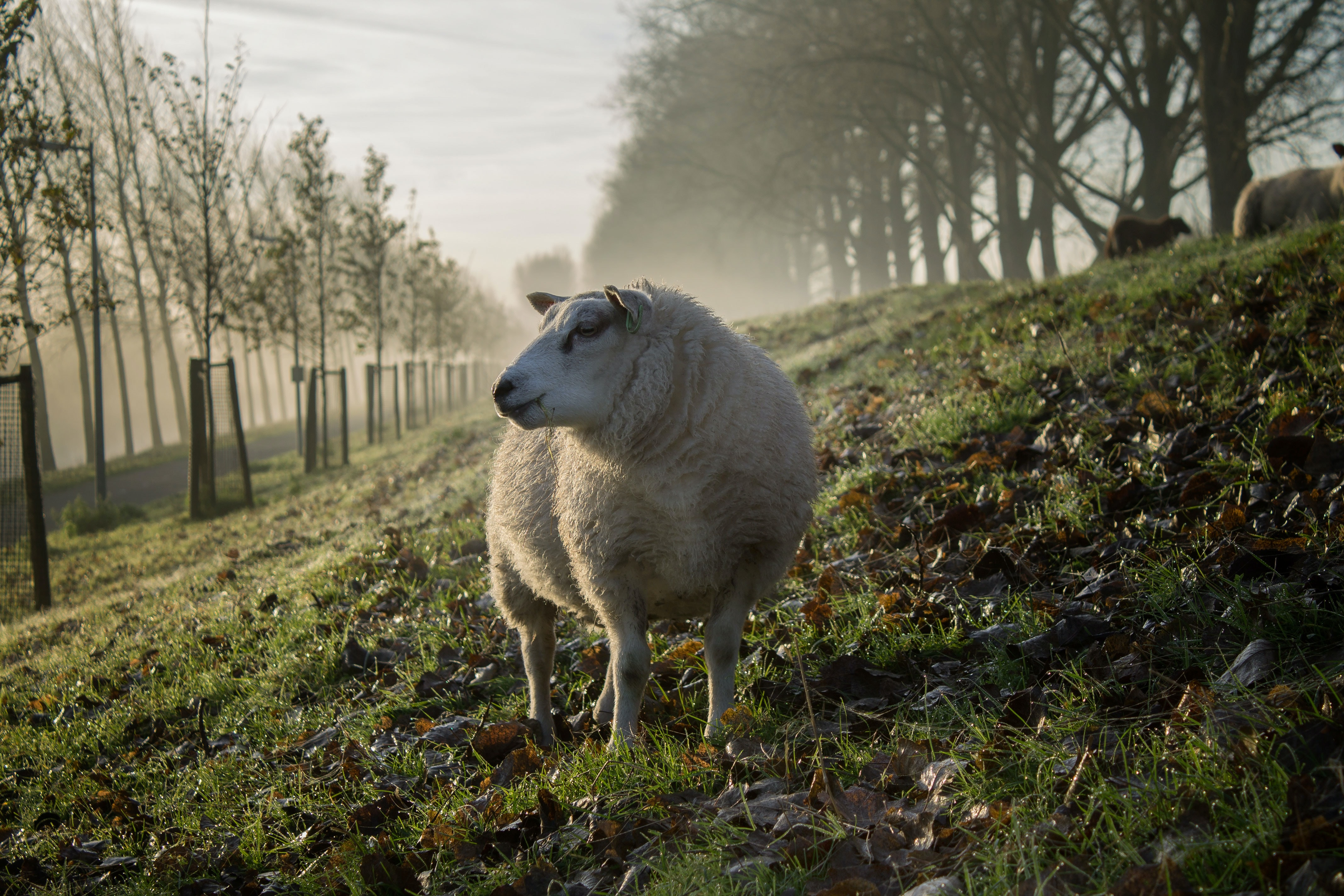A sheep grazing on a grassy hill in an orchard in Hoofddorp