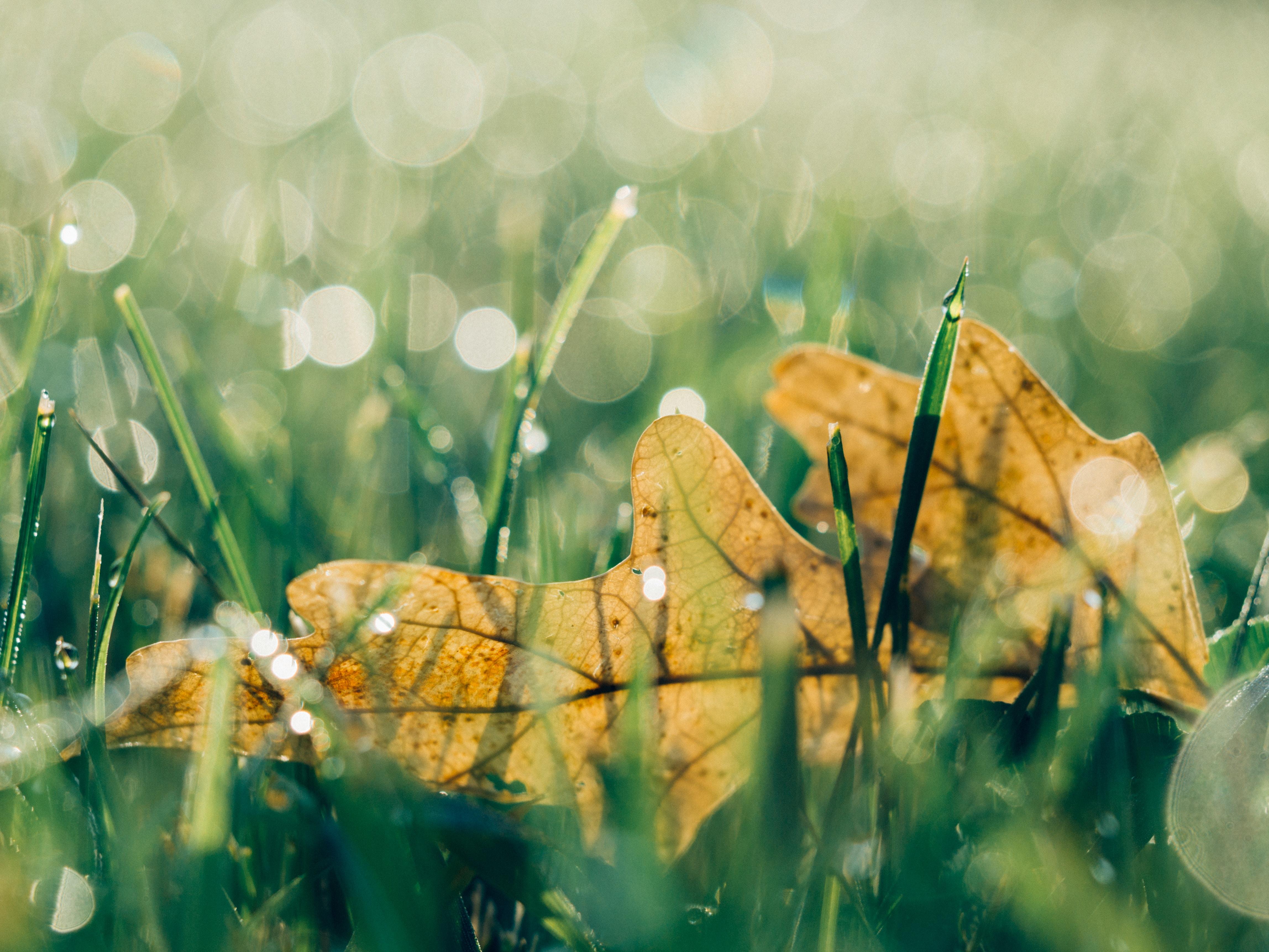Brown leaves fallen in a dewy grassy field