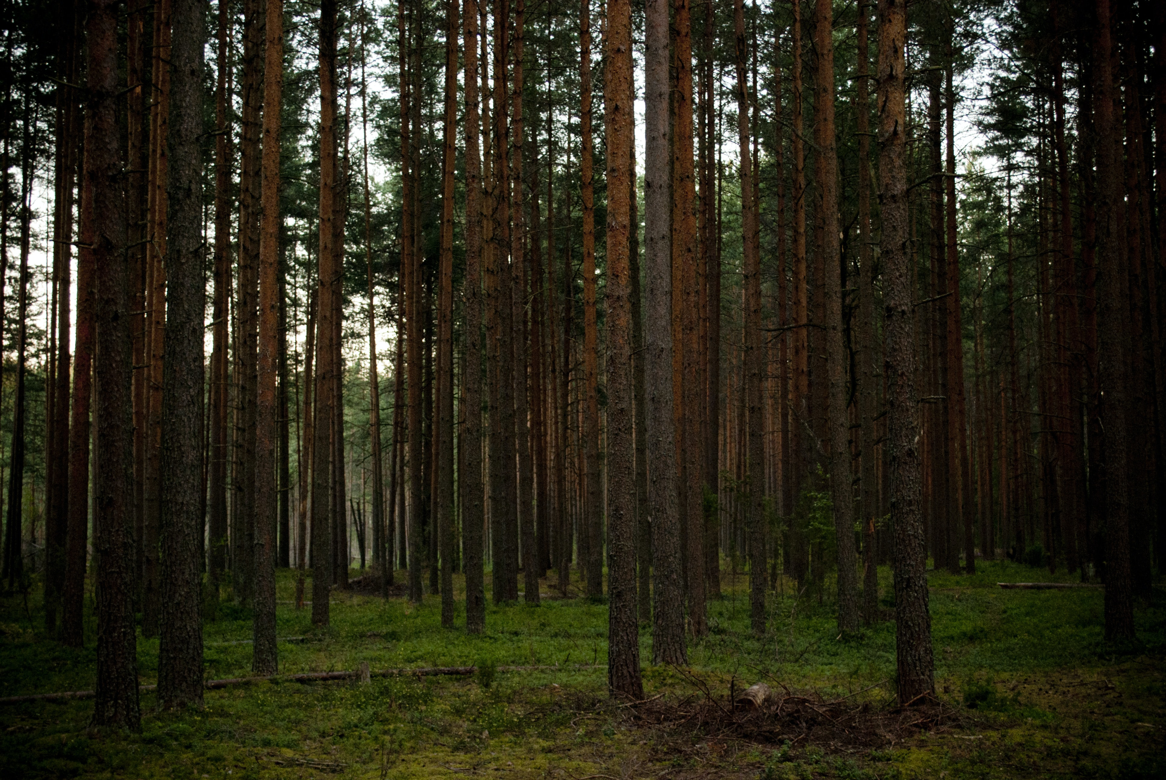 Tall trunks of coniferous trees in a forest