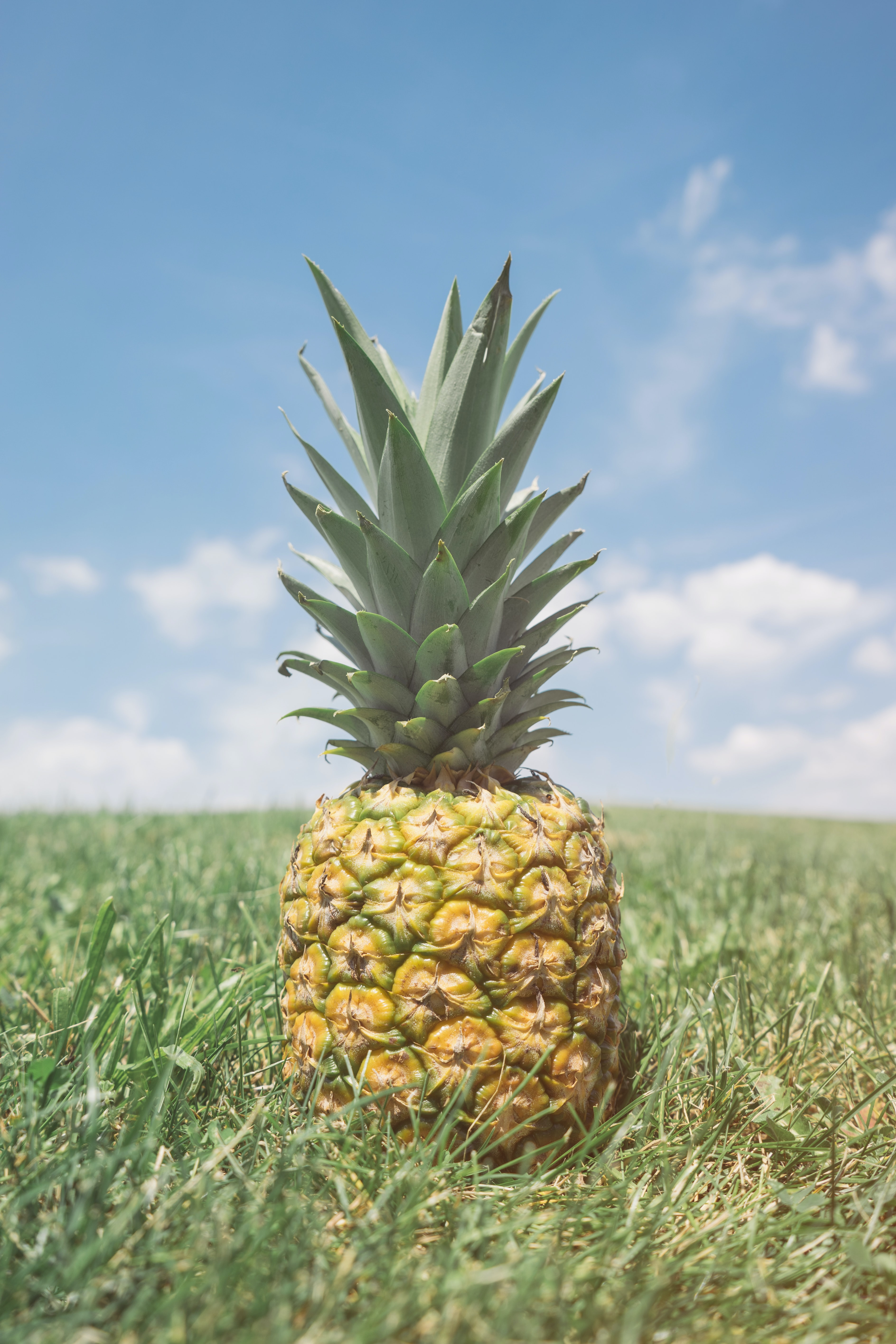 Single pineapple in the grass on a sunny day