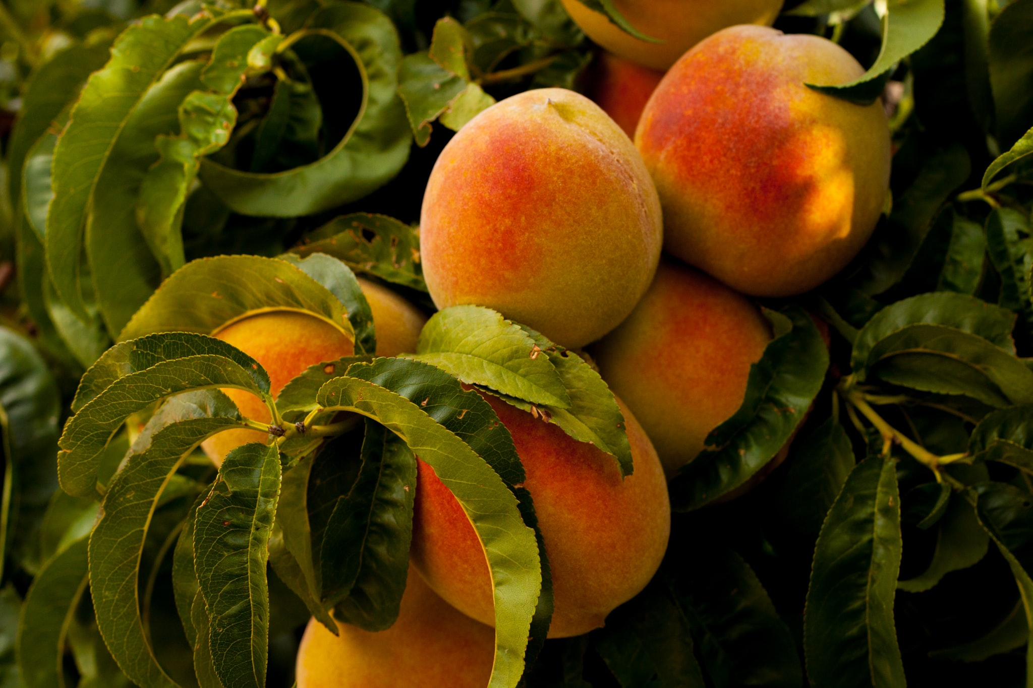 unharvested ripe peach fruits at daytime