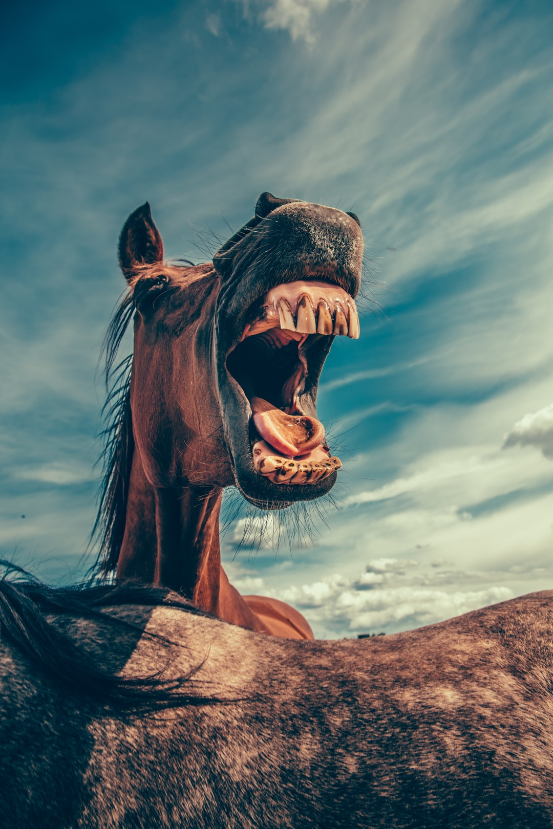 Horse baring its teeth
