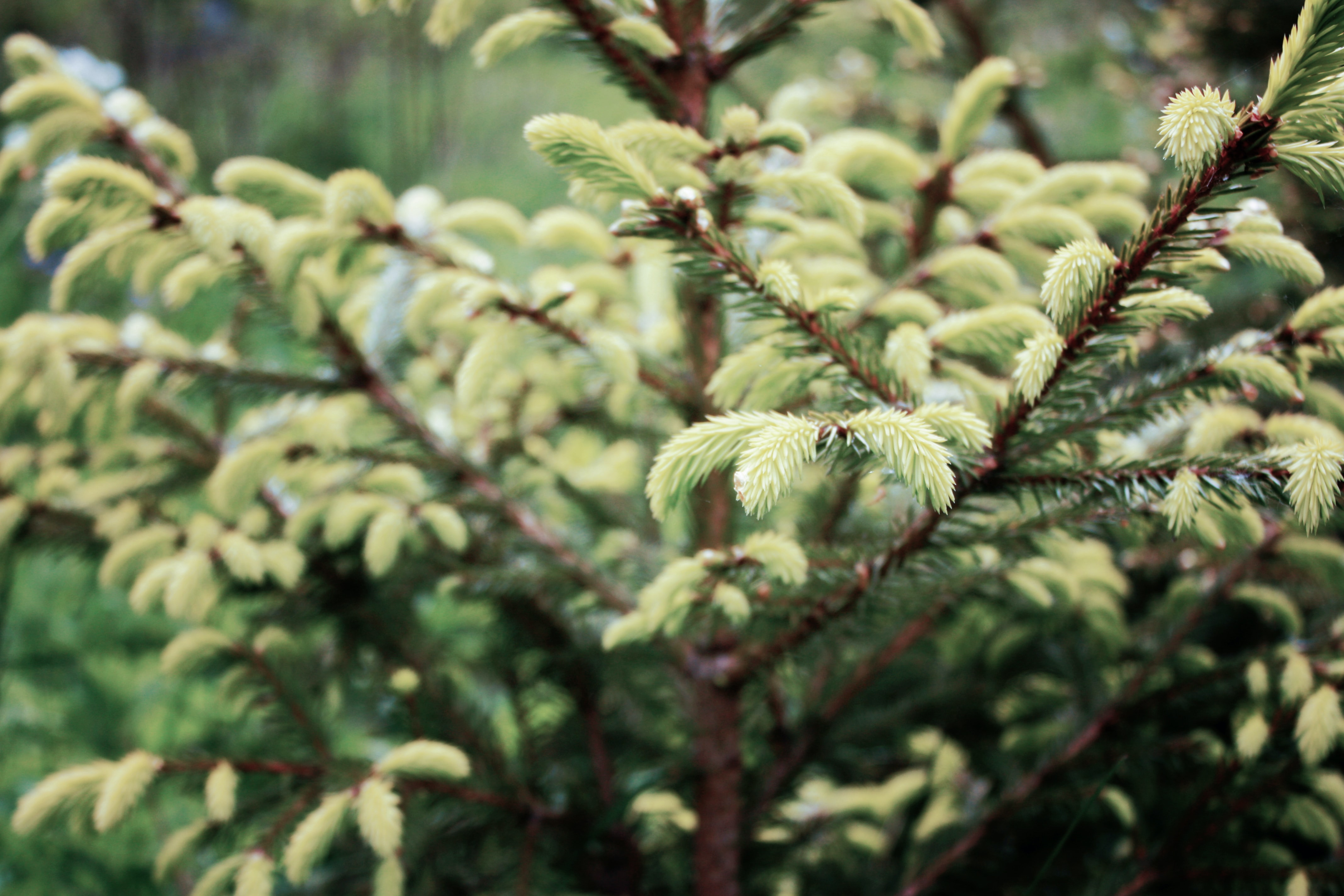 small green pine tree closeup photography