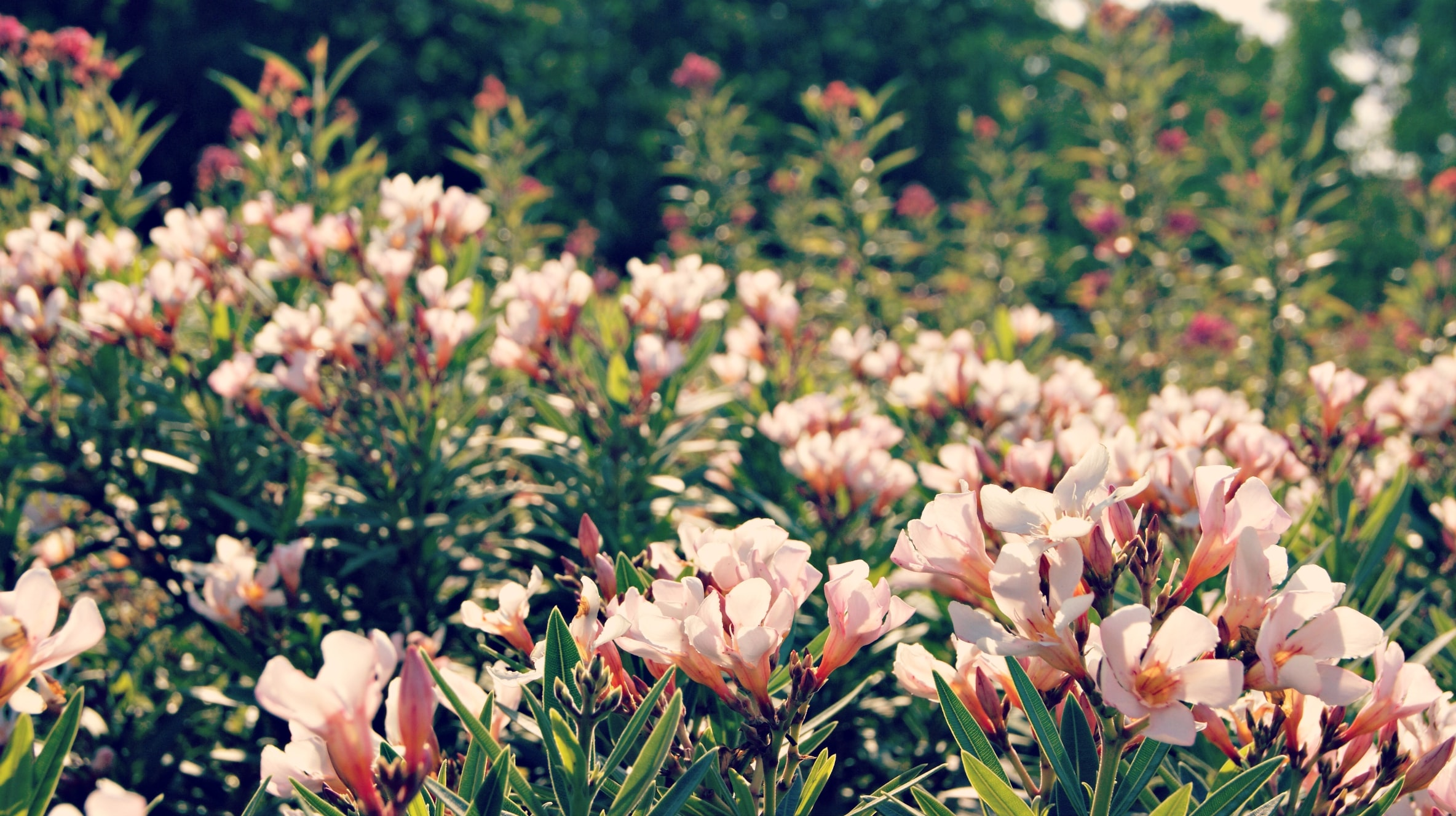 Pale pink flowers in a sunny garden