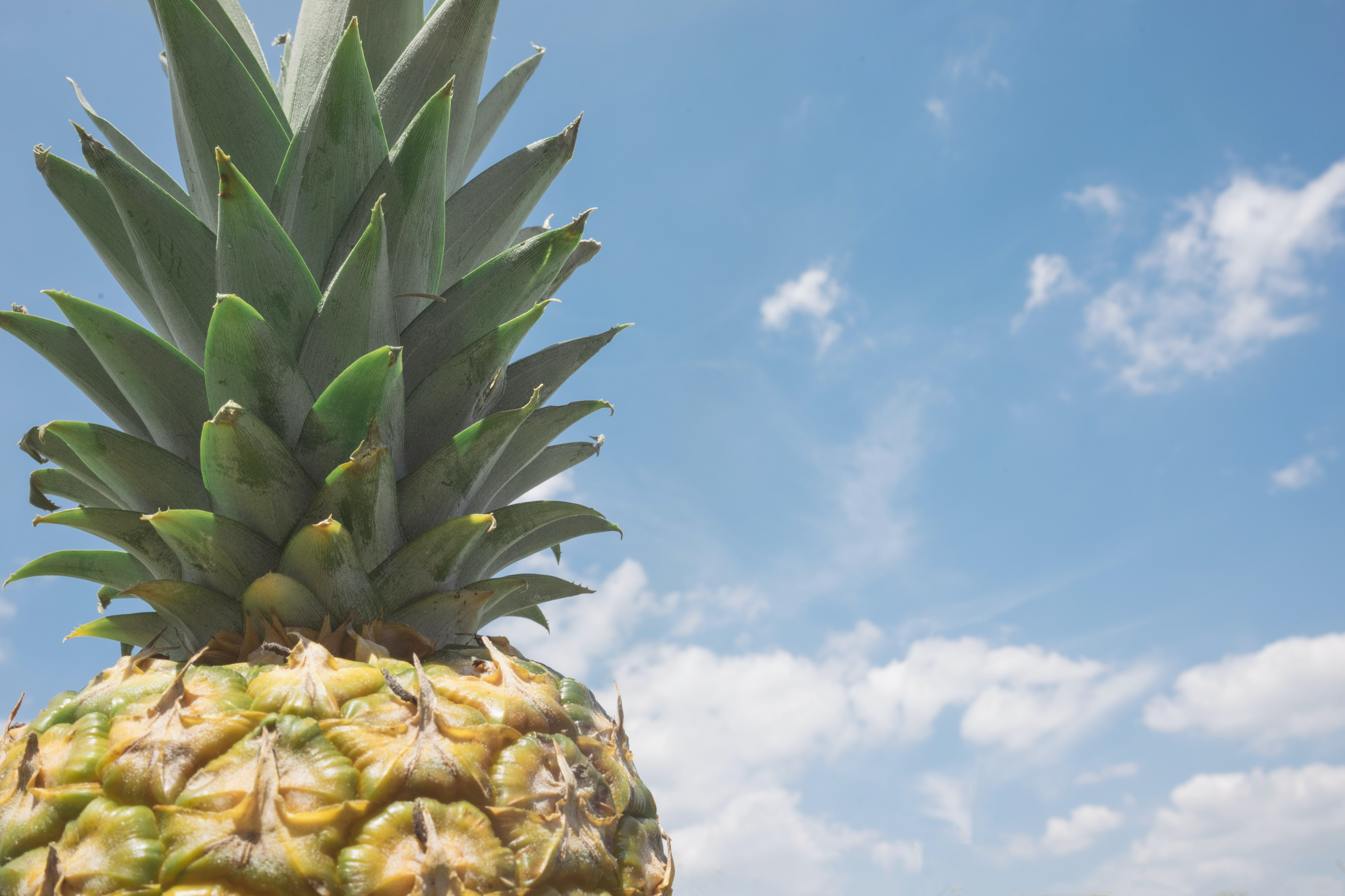 High shot of a pineapple and its green top against a blue sky
