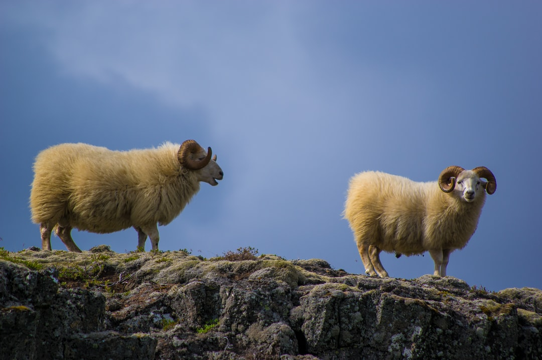Rams on rocky cliff