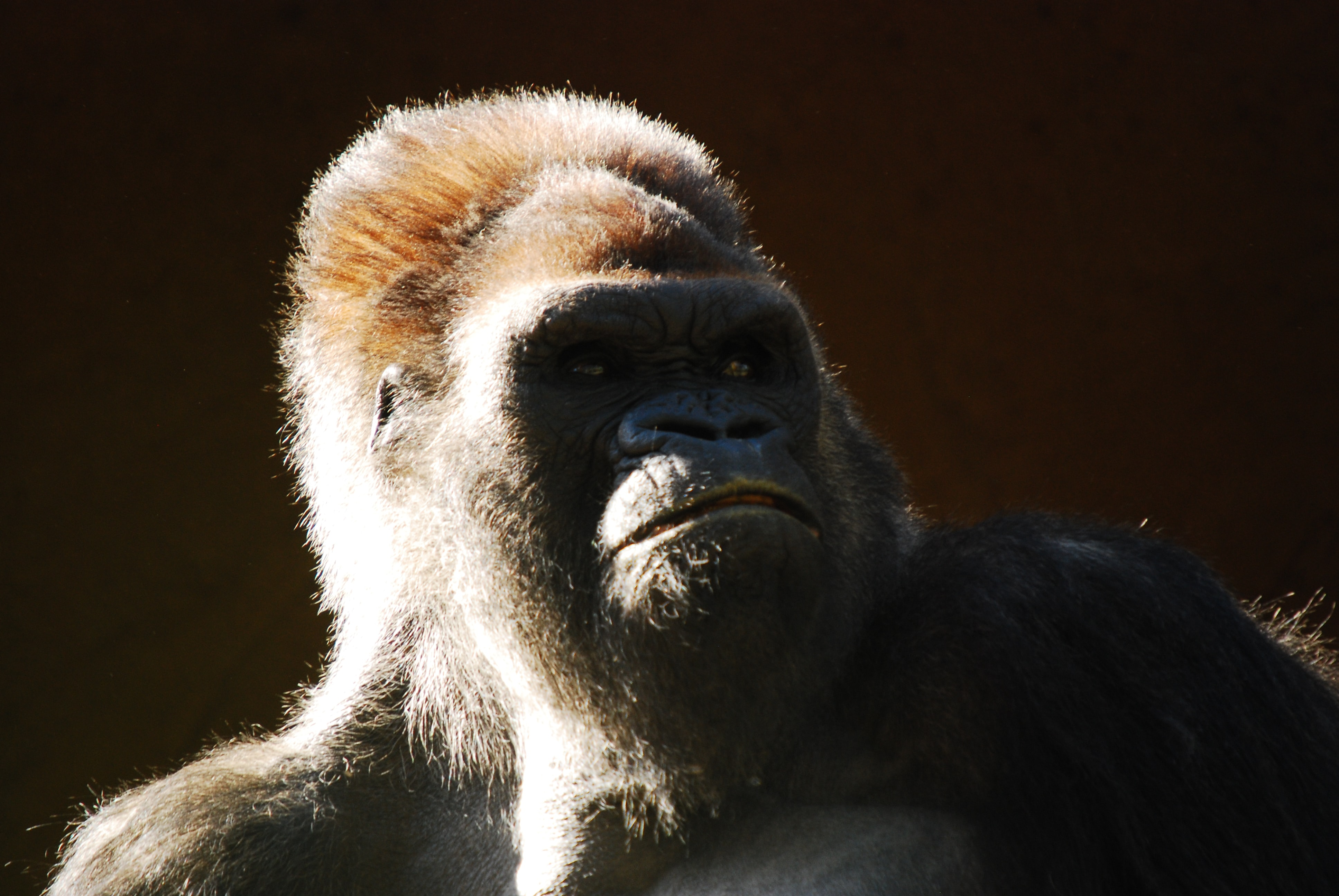 Gorilla looking upward with a shadow over its face