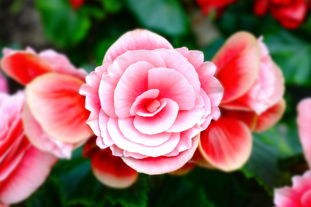 closeup photography of pink and white petaled flower