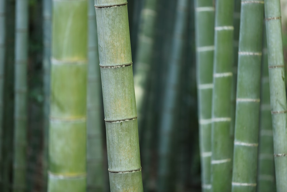 green bamboo shoots