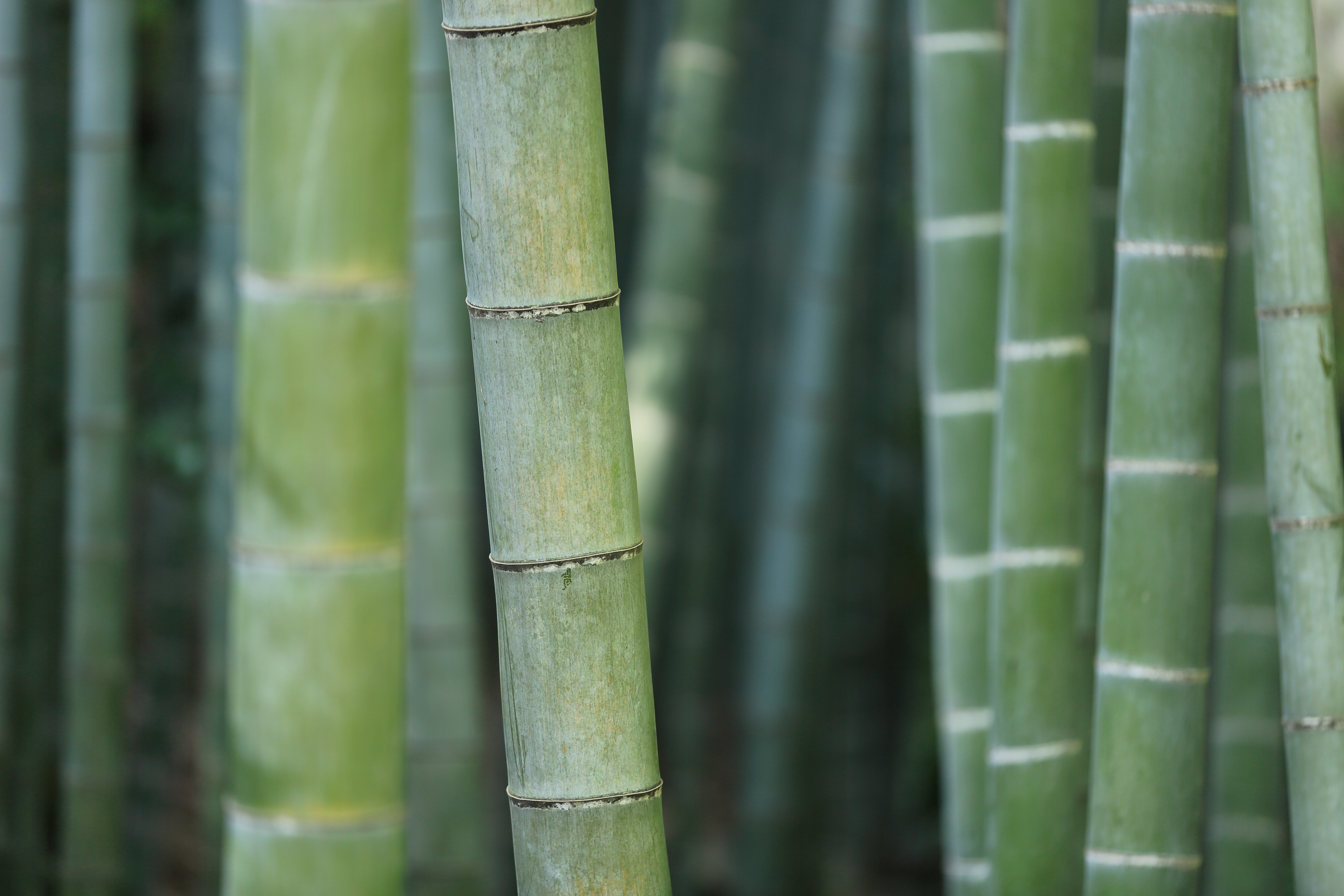 Macro of green bamboo plant shoots and stems growing