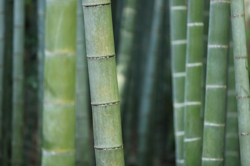 green bamboo shoots