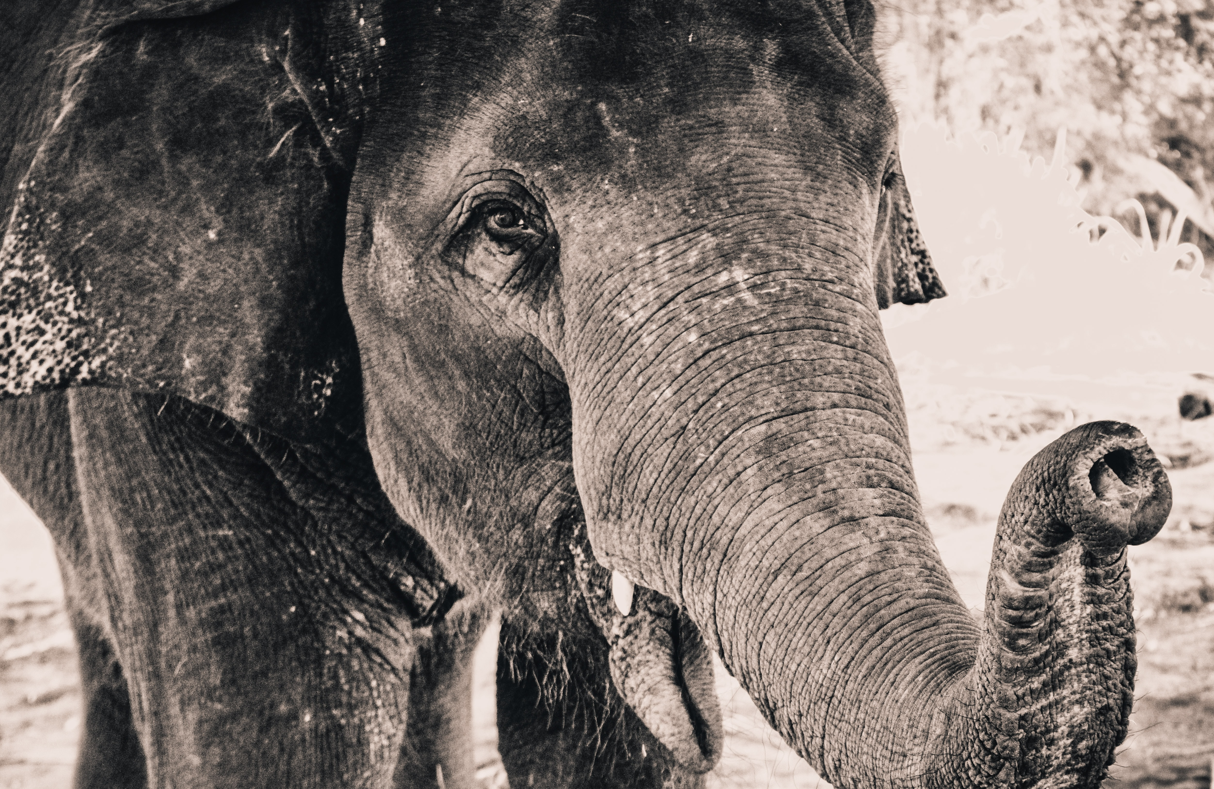 Black and white shot of macro of elephant with curved trunk in Chiang Mai