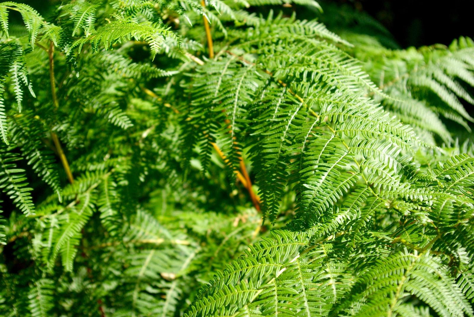 "Pentax K10D sample photo. ""Fern plant photo"" photography"
