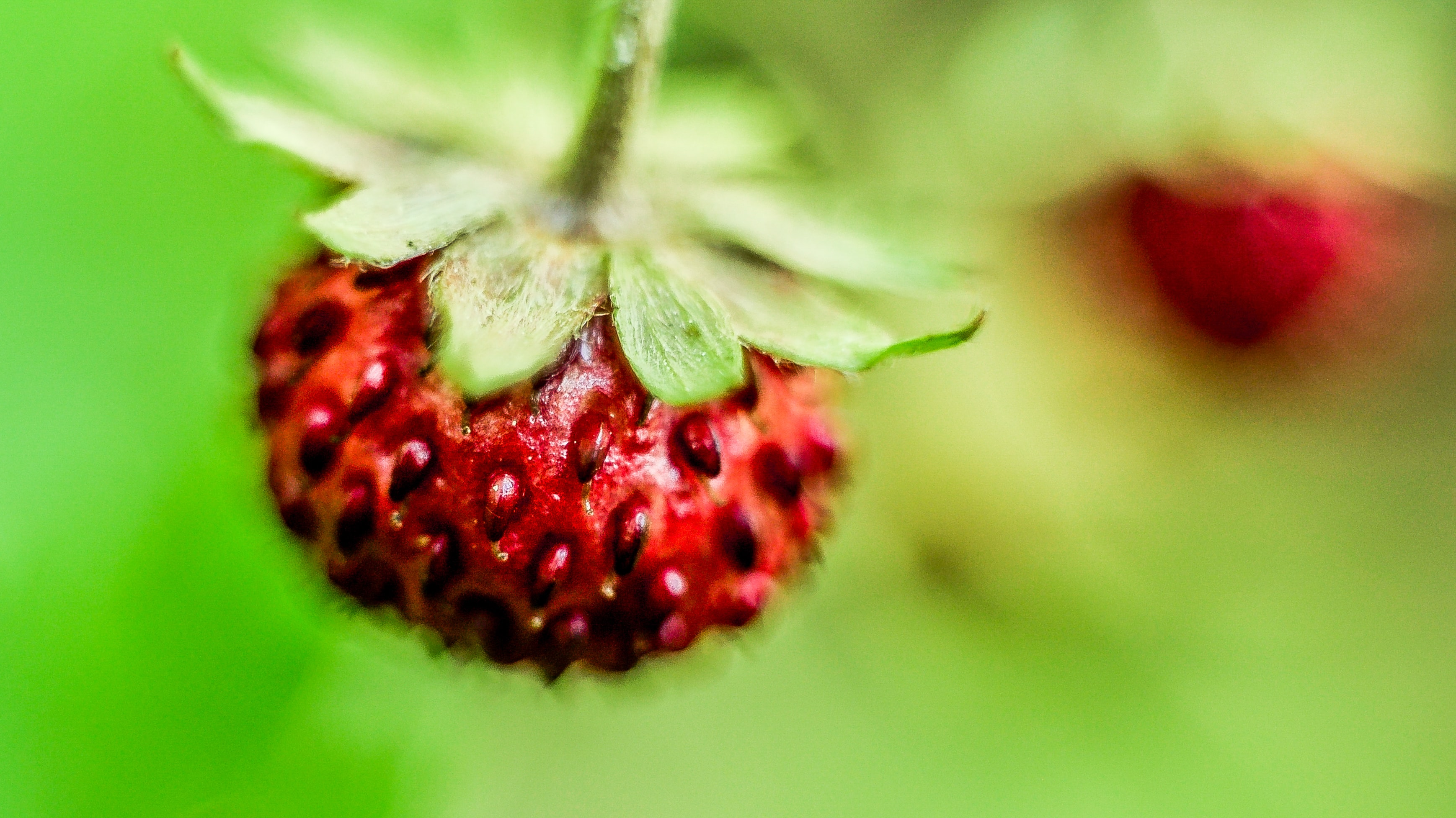 Macro of seeds on a red strawberry