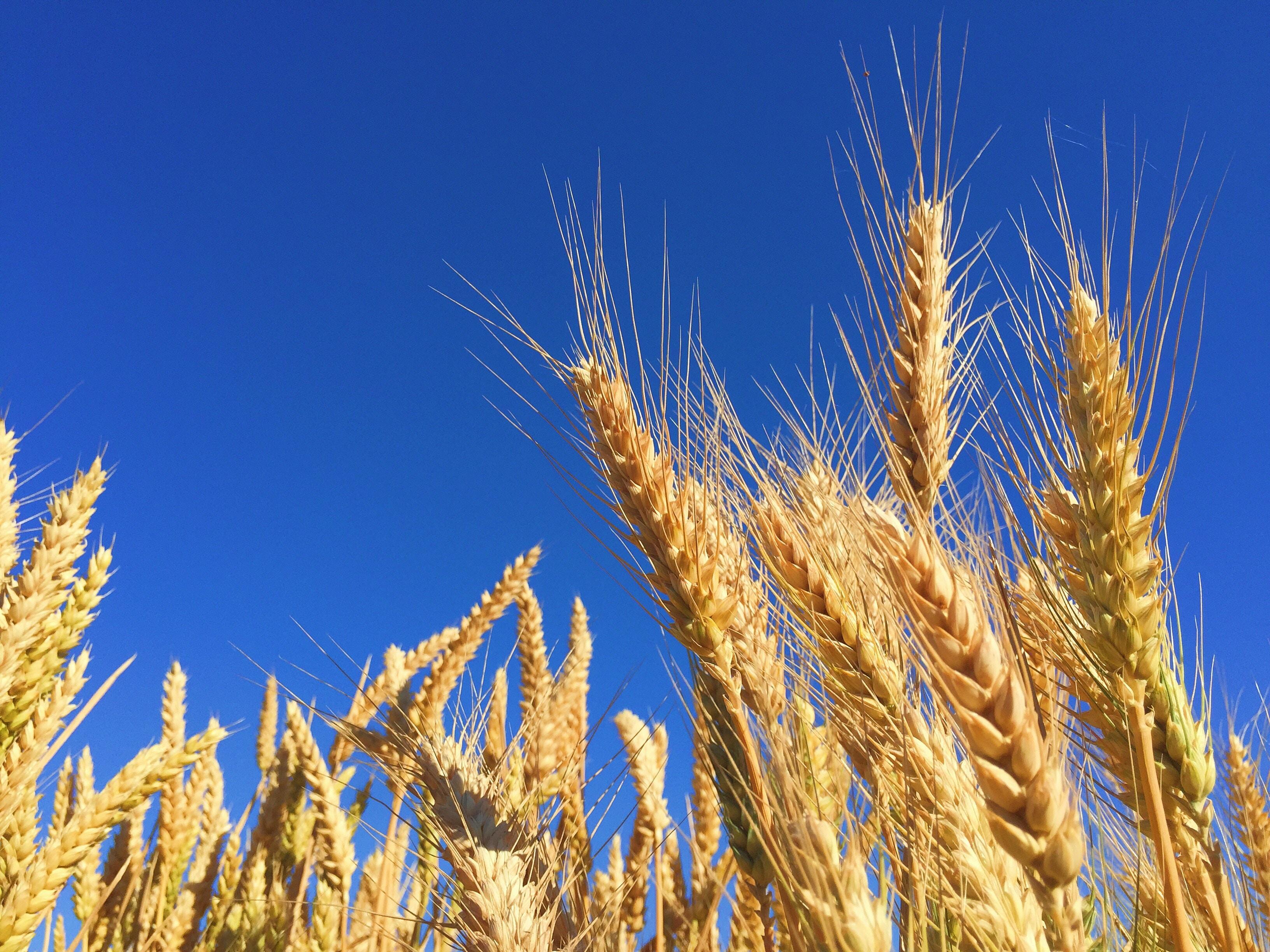 closeup photography of brown wheats