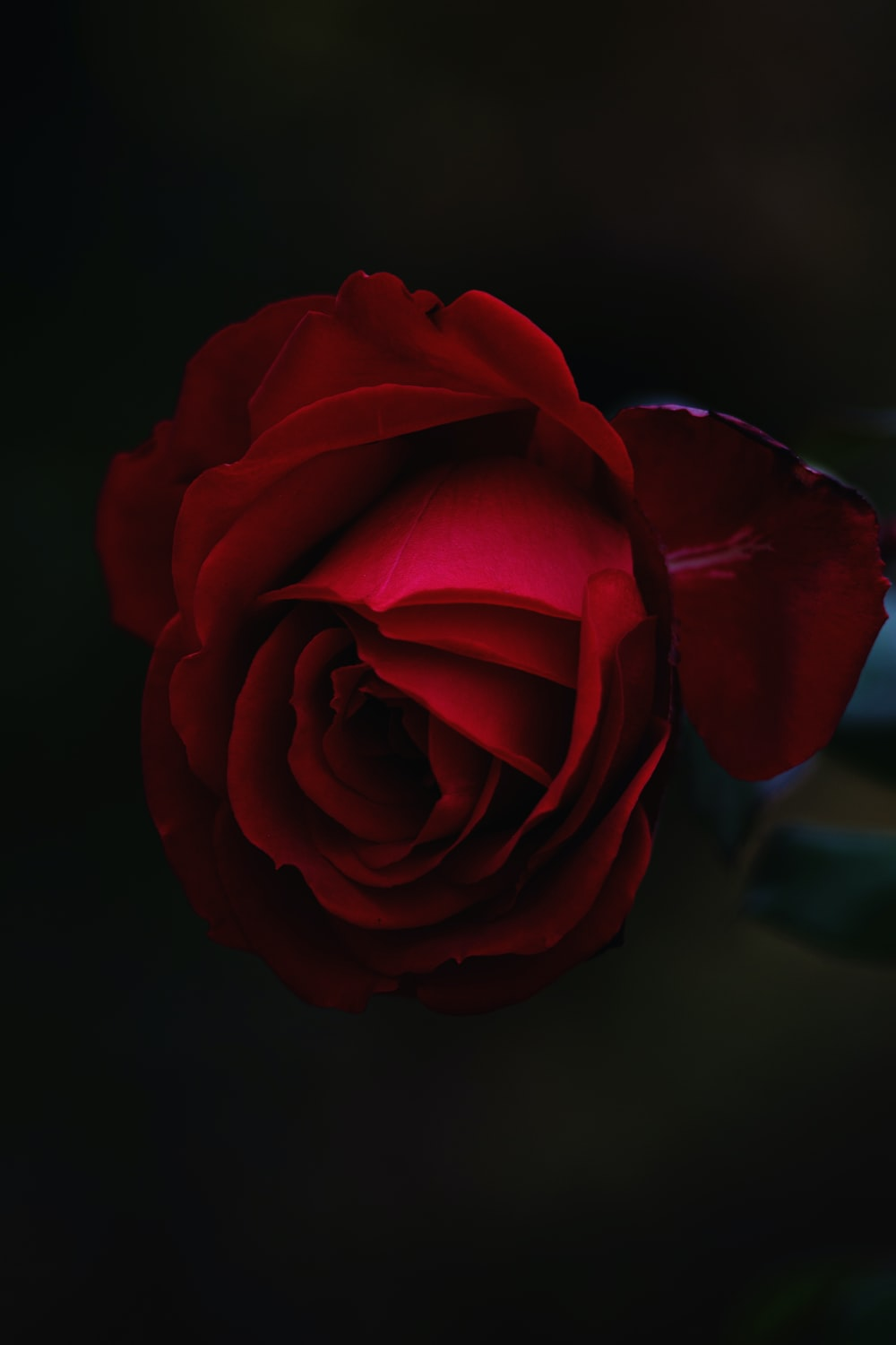Stunning Red Rose Photo By Roksolana Zasiadko Cieloadentro On
