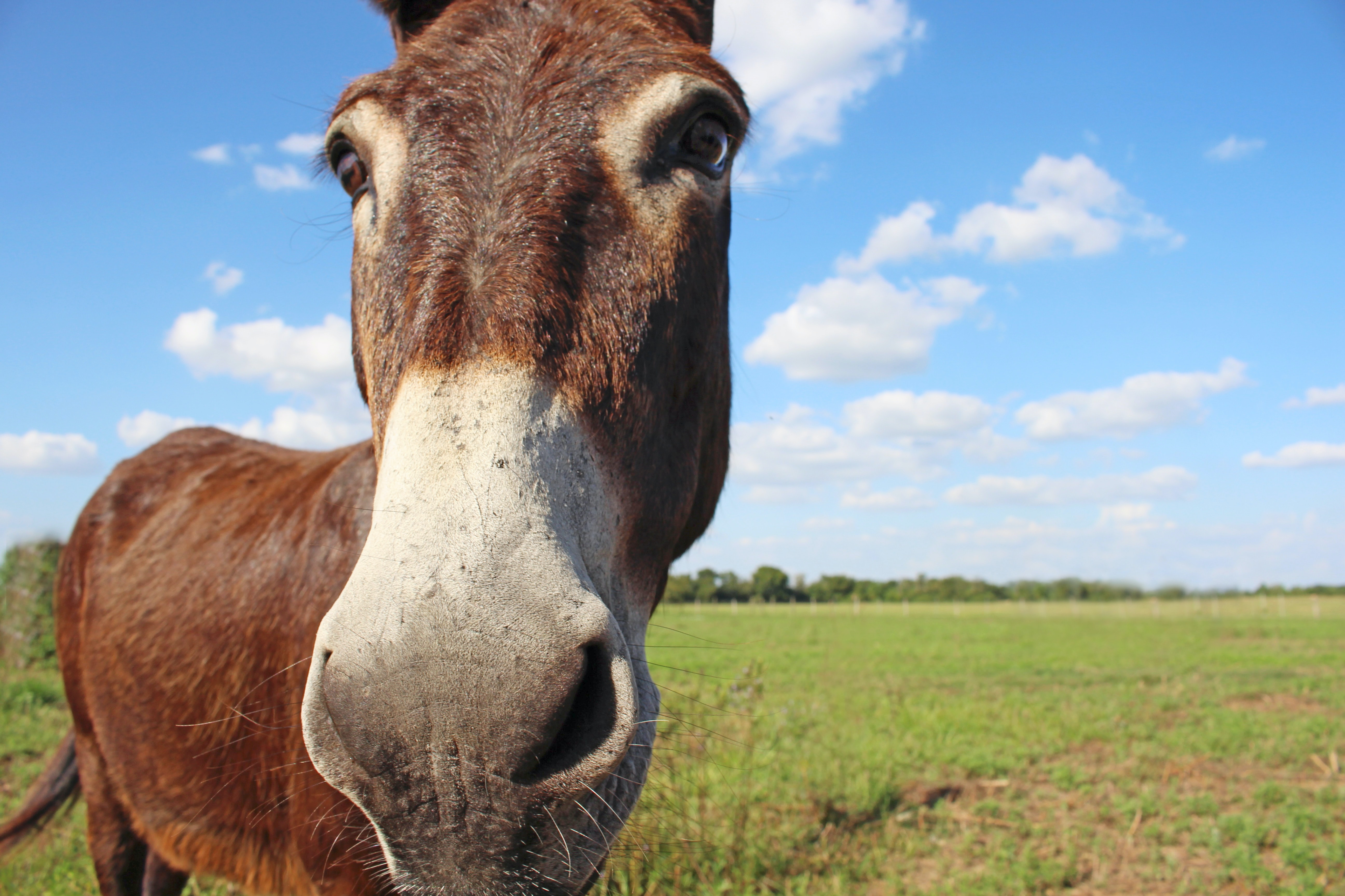 closed up photo of brown donkey on green grass field under blue and cloudy sky