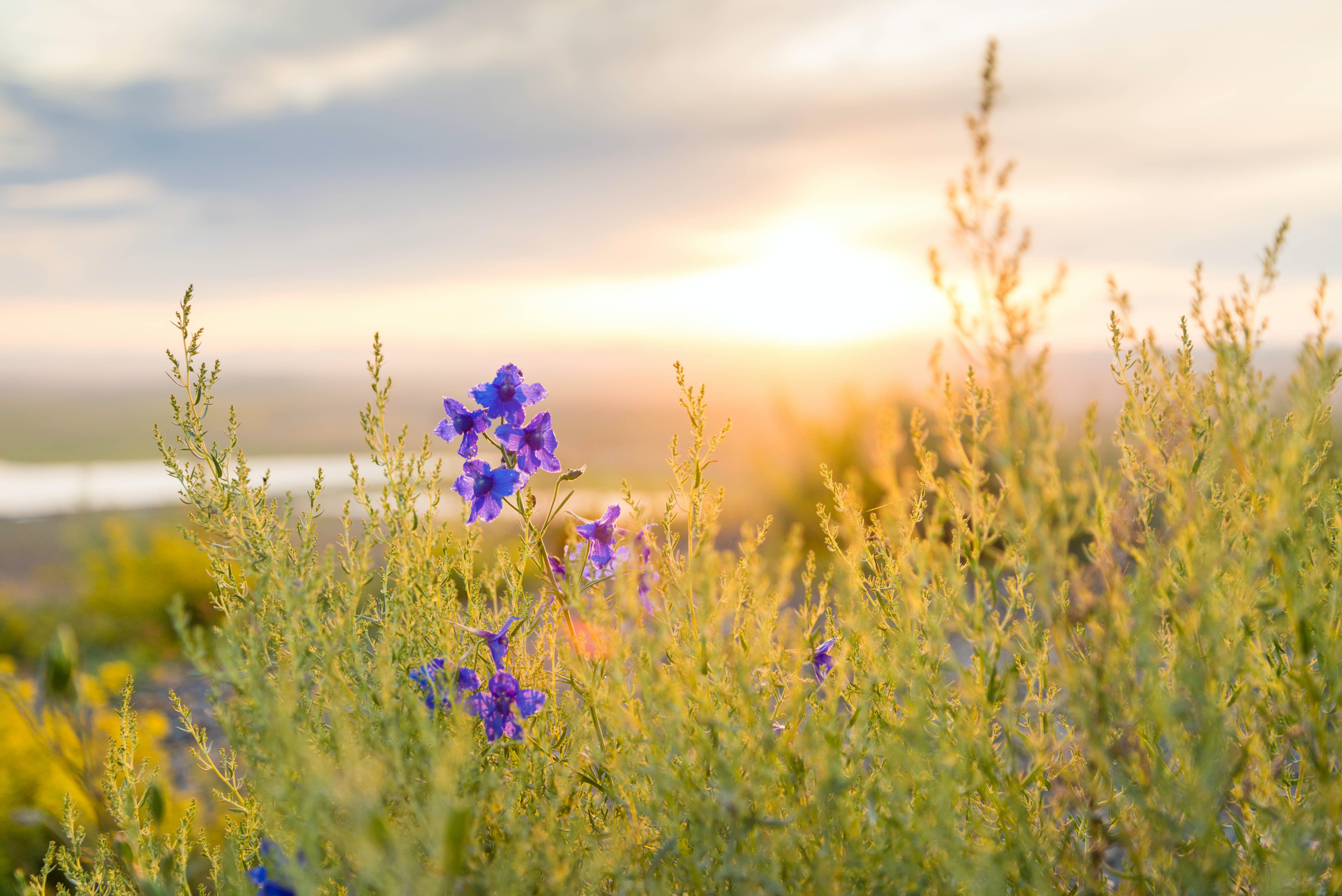 A plant with purple flowers in tall grass during sunset