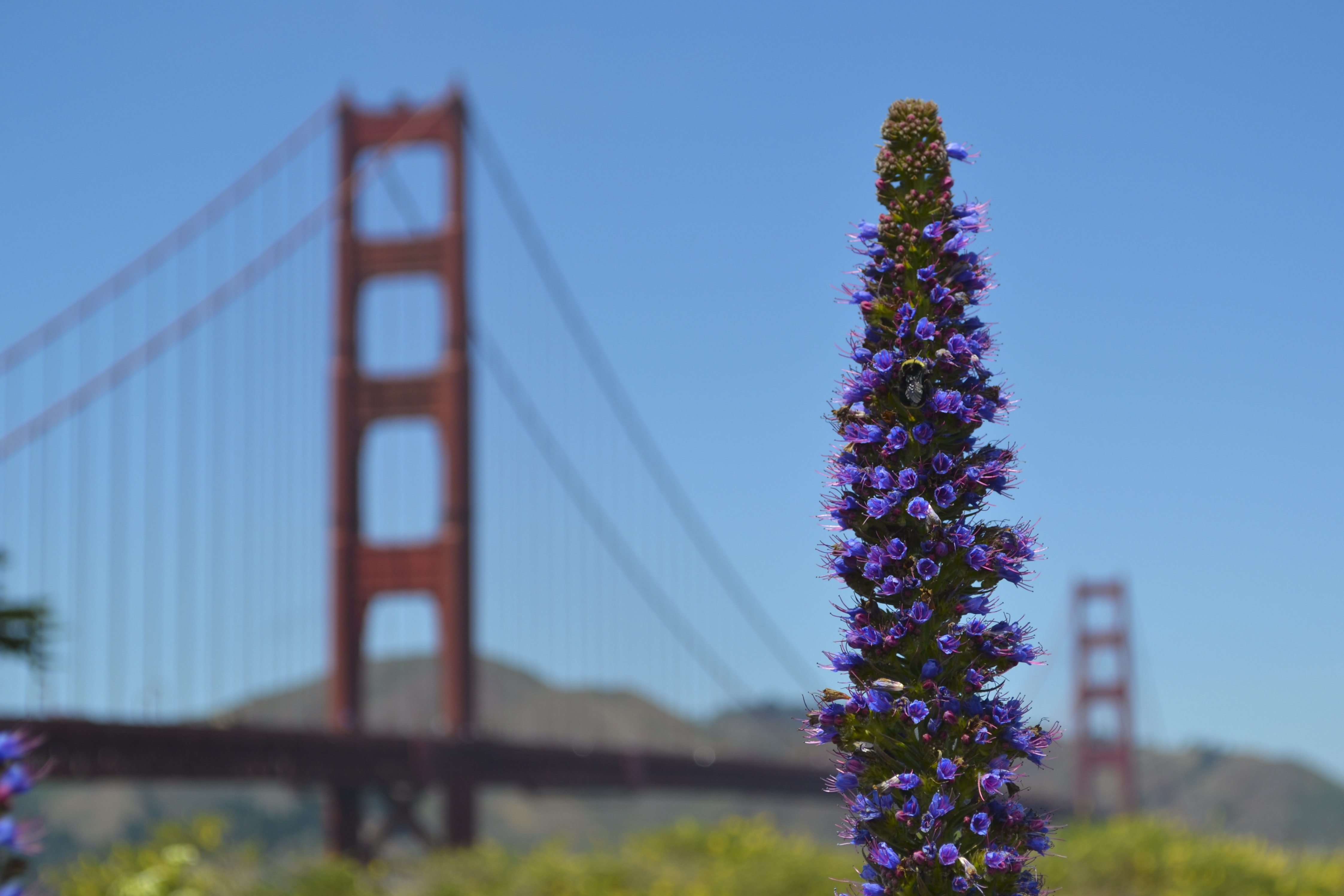 Tall violet flower head with the Golden Gate Bridge in the blurry background