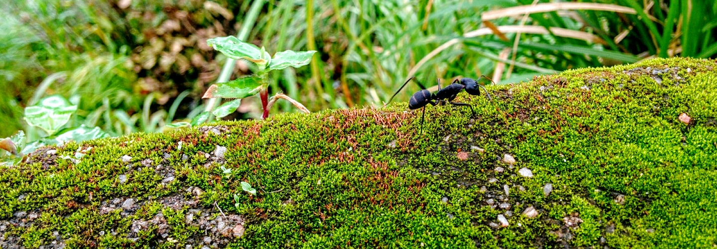 Inexpensive Home Remedies to Prevent or Kill Off Ants