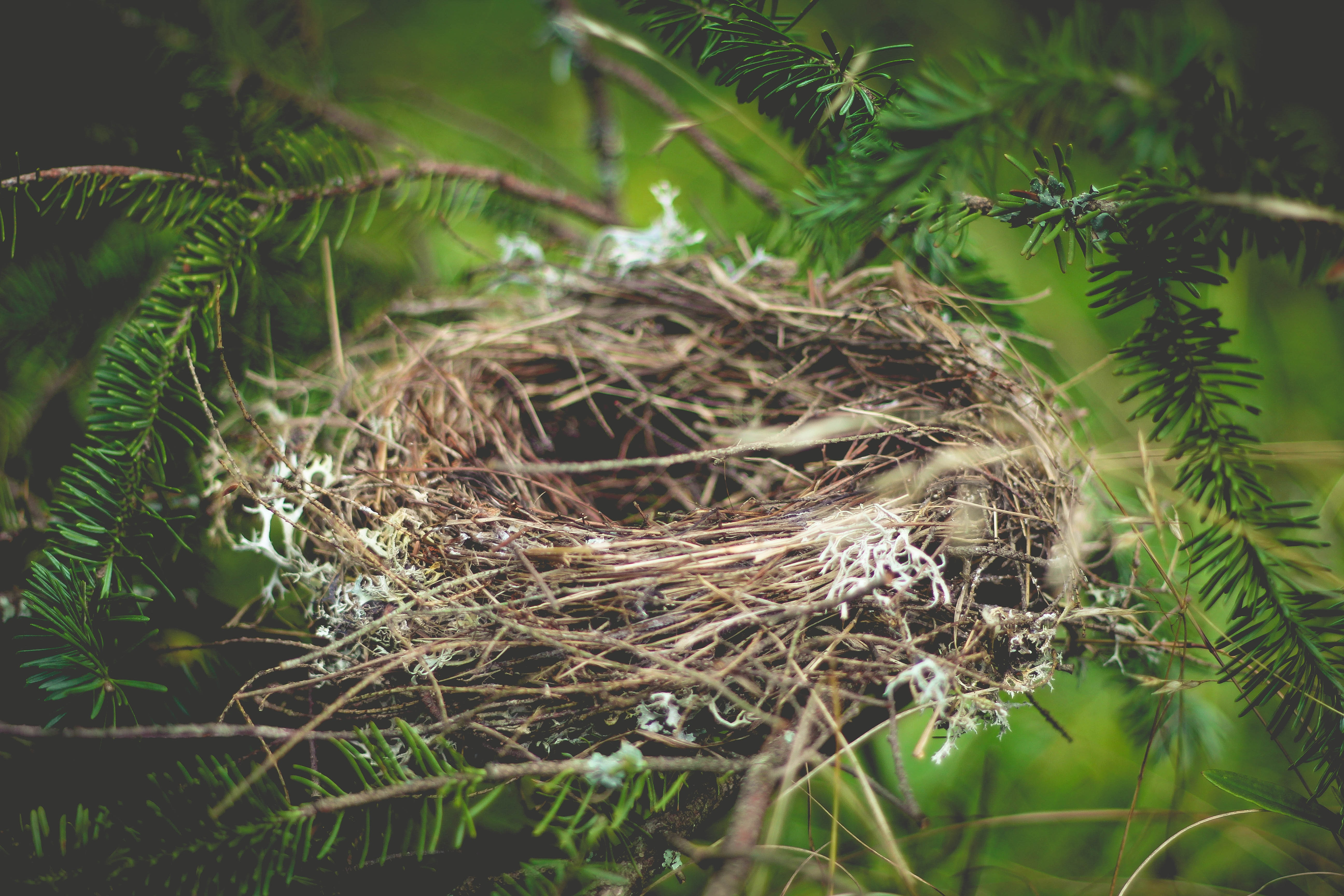 Empty bird nest with twigs and yarn in a pine tree
