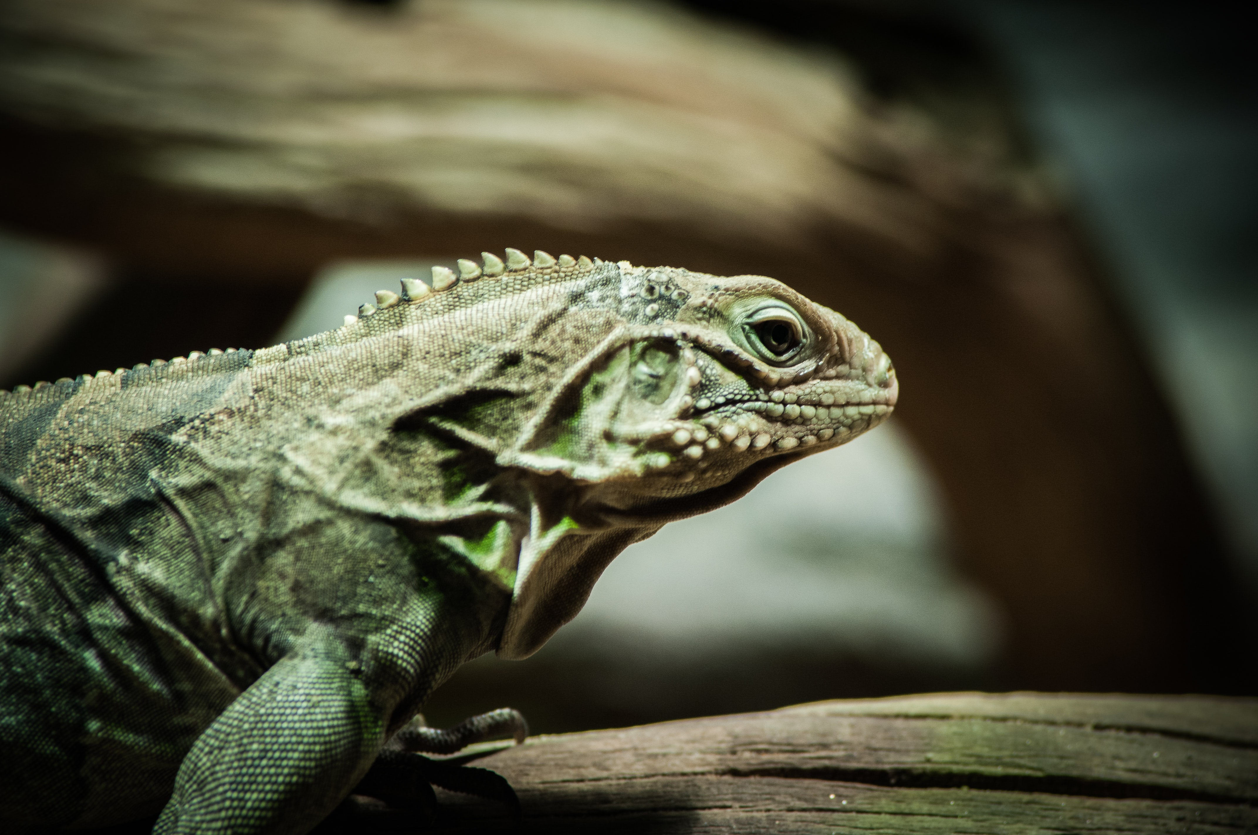 selective focus photography of green iguana