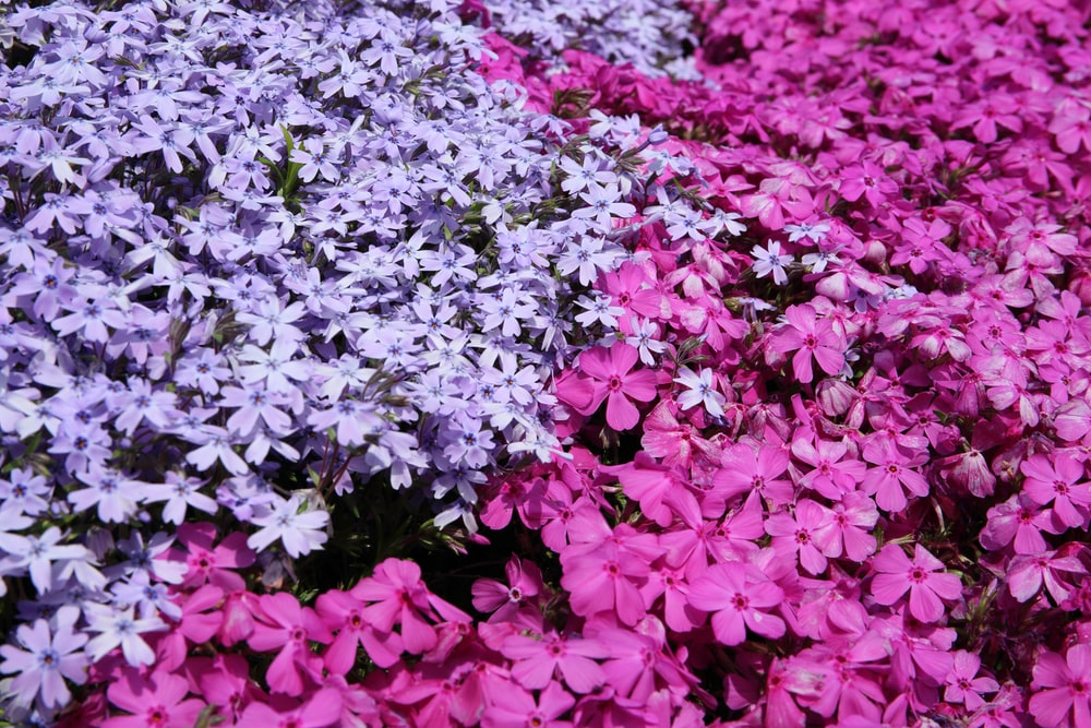 pink and purple periwinkle flowers