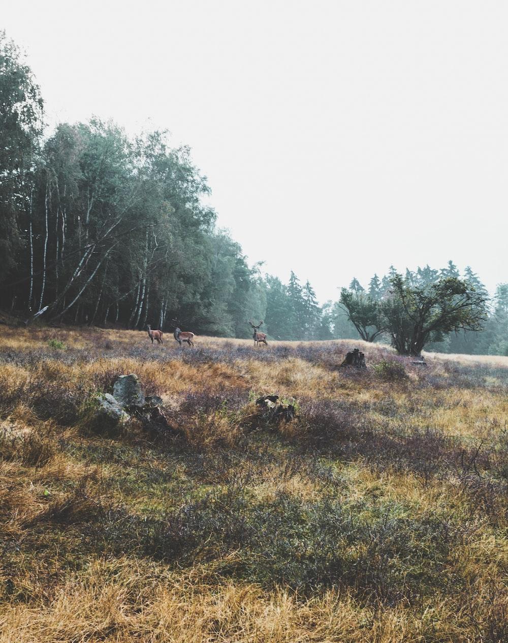 three brown deers eating grasses near trees
