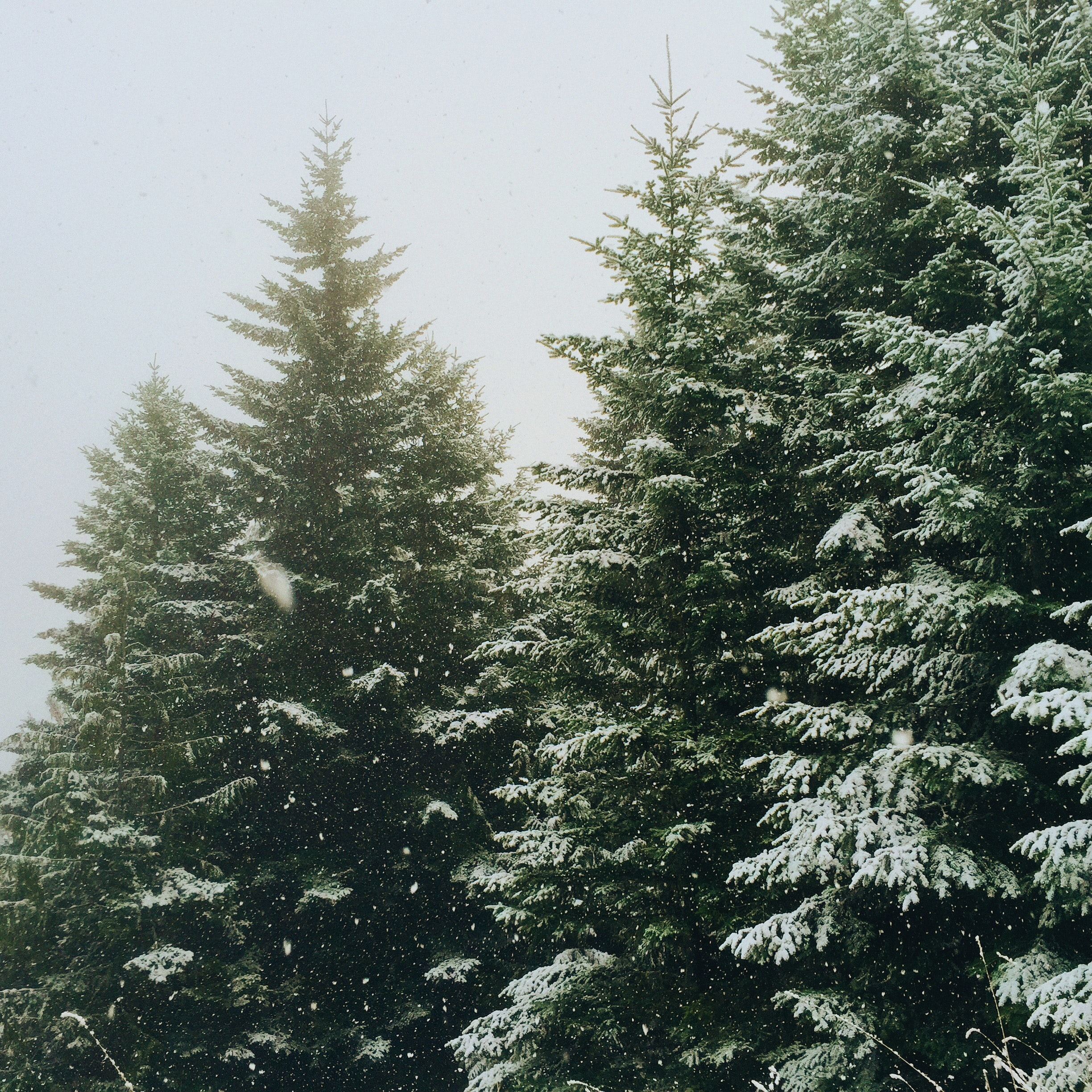 Winter spruce trees on a snowy winter day with a soft background