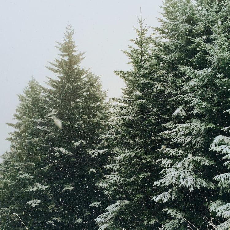 spruce tree snow - photo #10